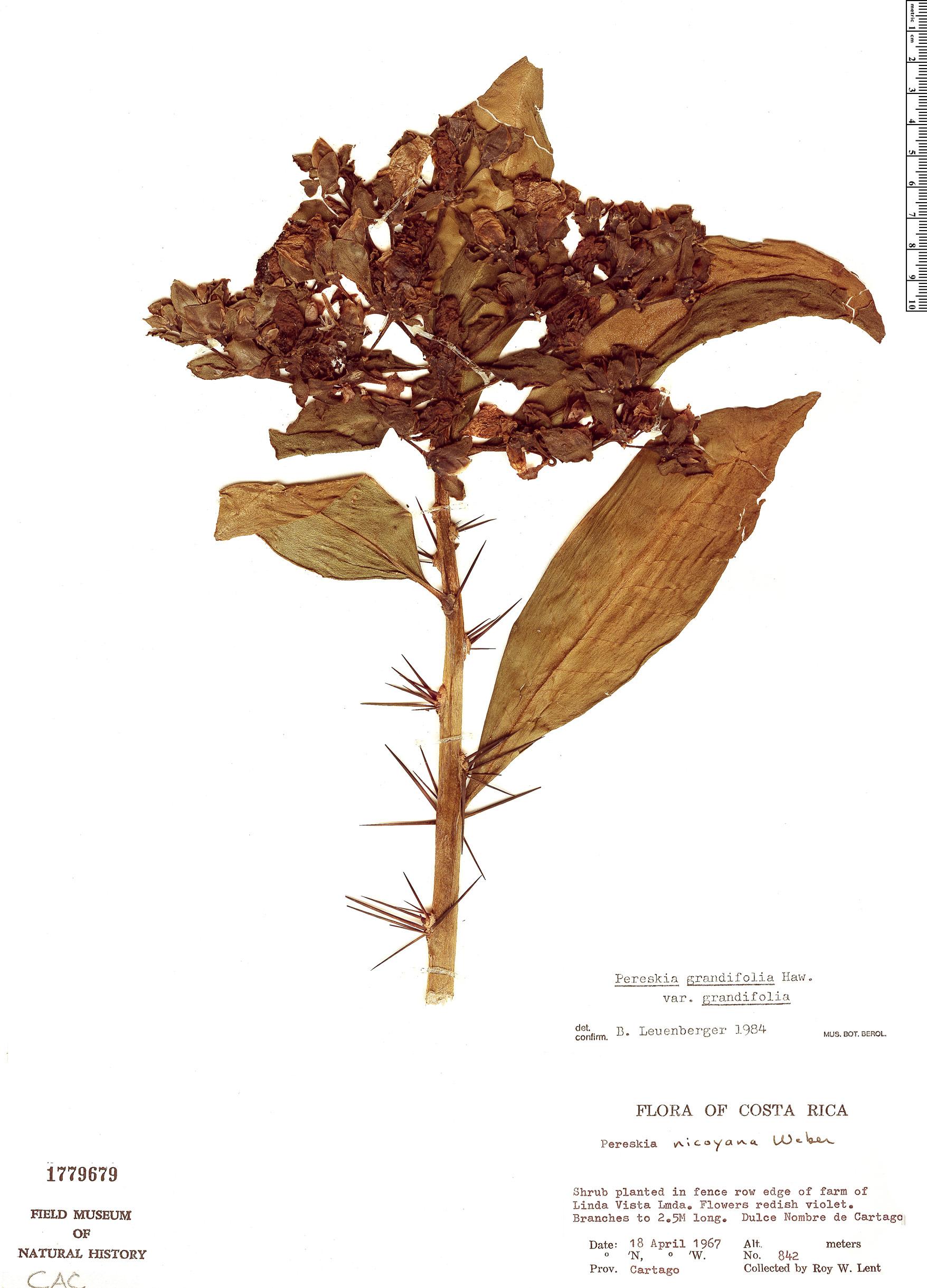 Specimen: Pereskia grandifolia