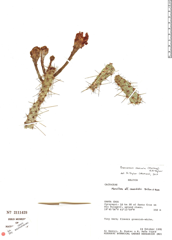 Specimen: Praecereus saxicola