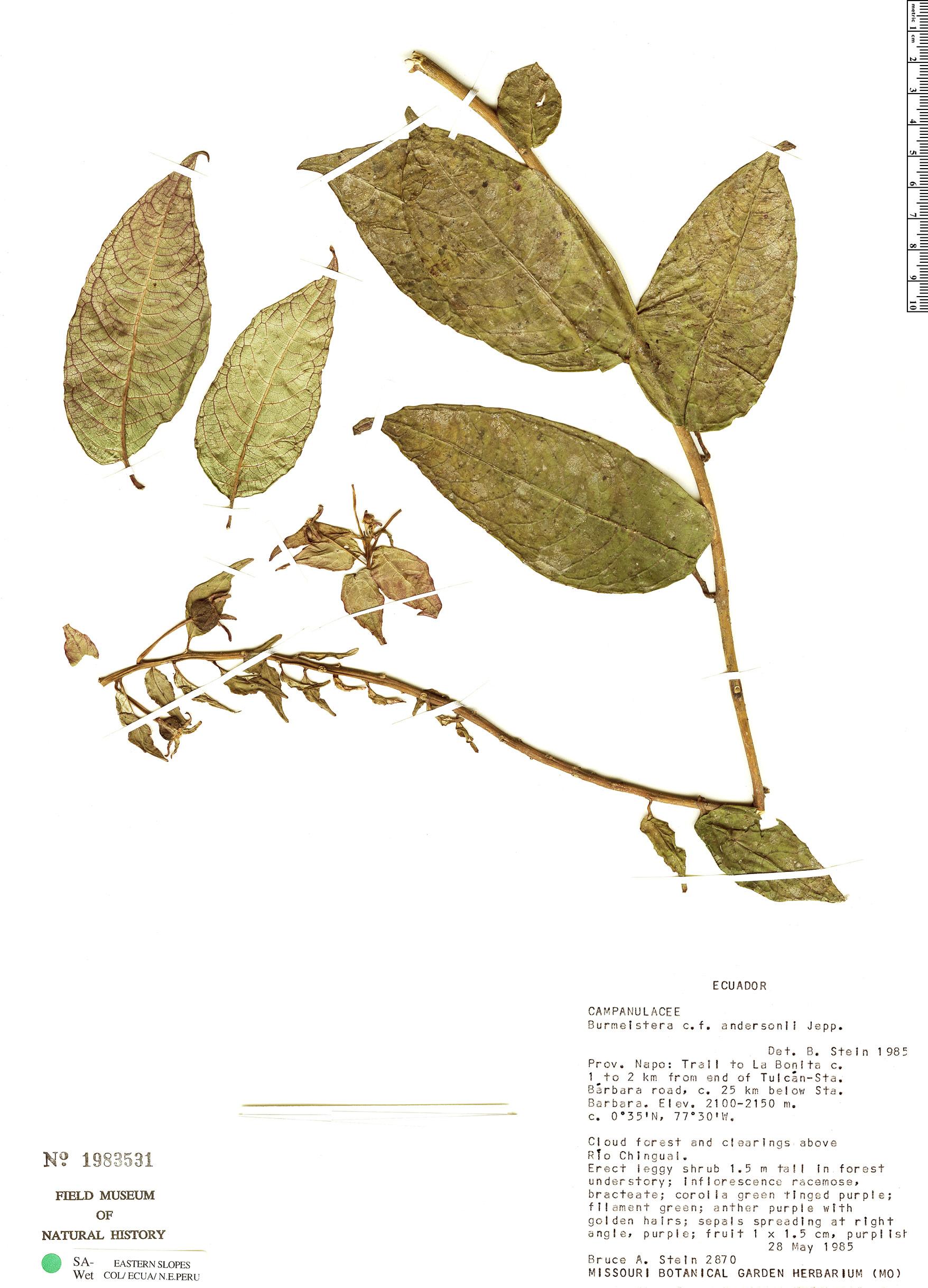 Specimen: Burmeistera anderssonii
