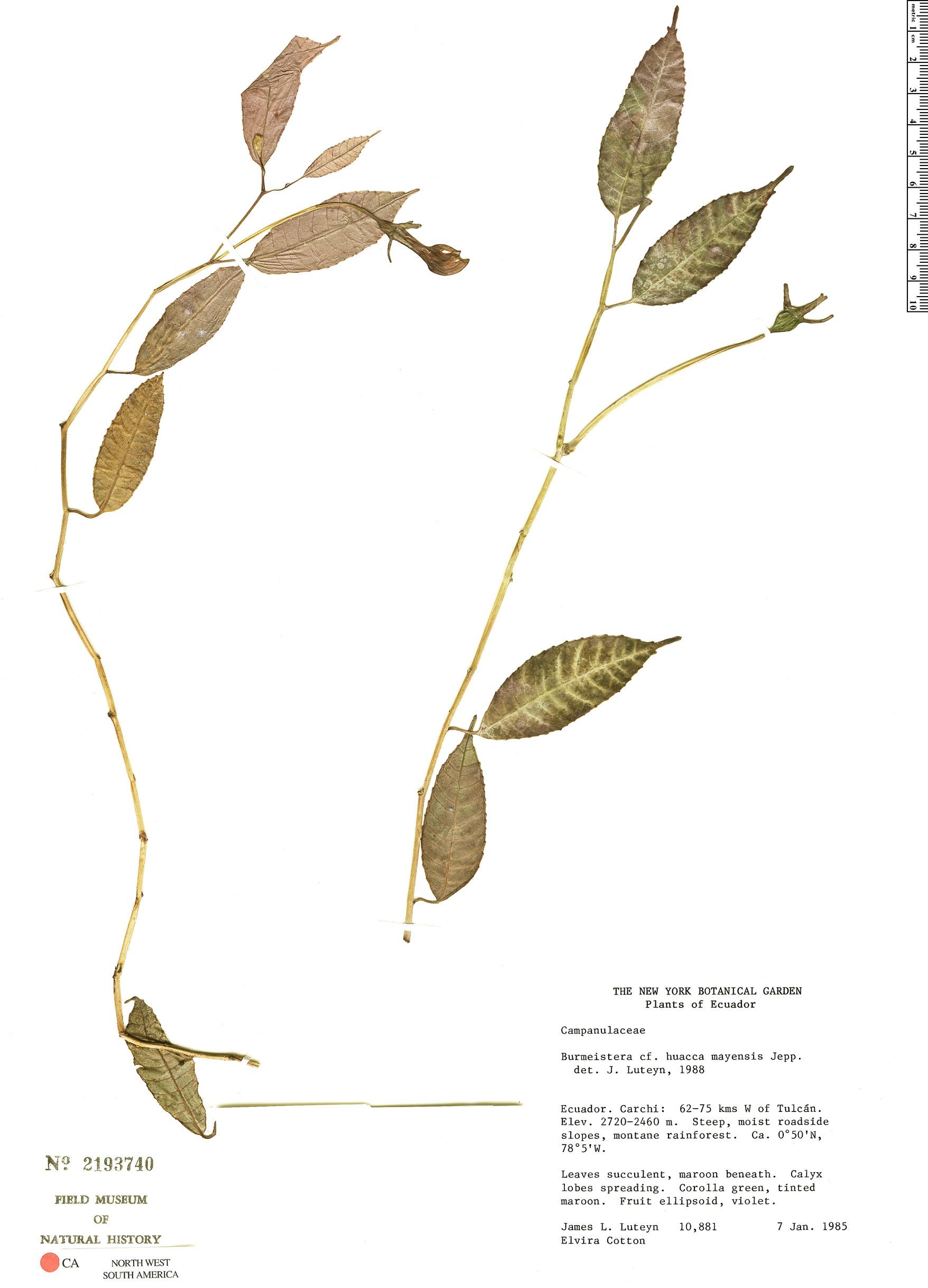 Burmeistera huacamayensis image