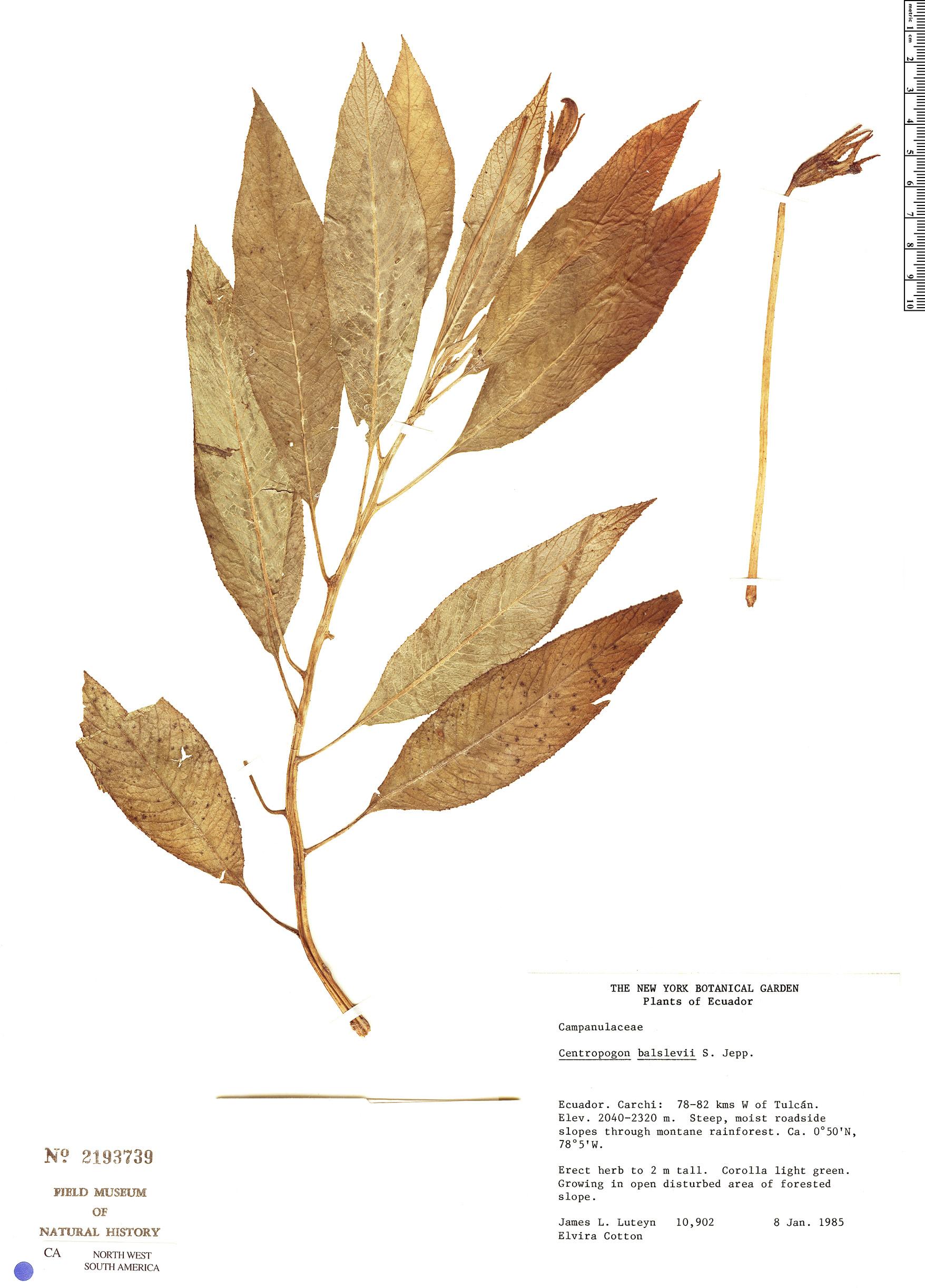 Centropogon balslevii image