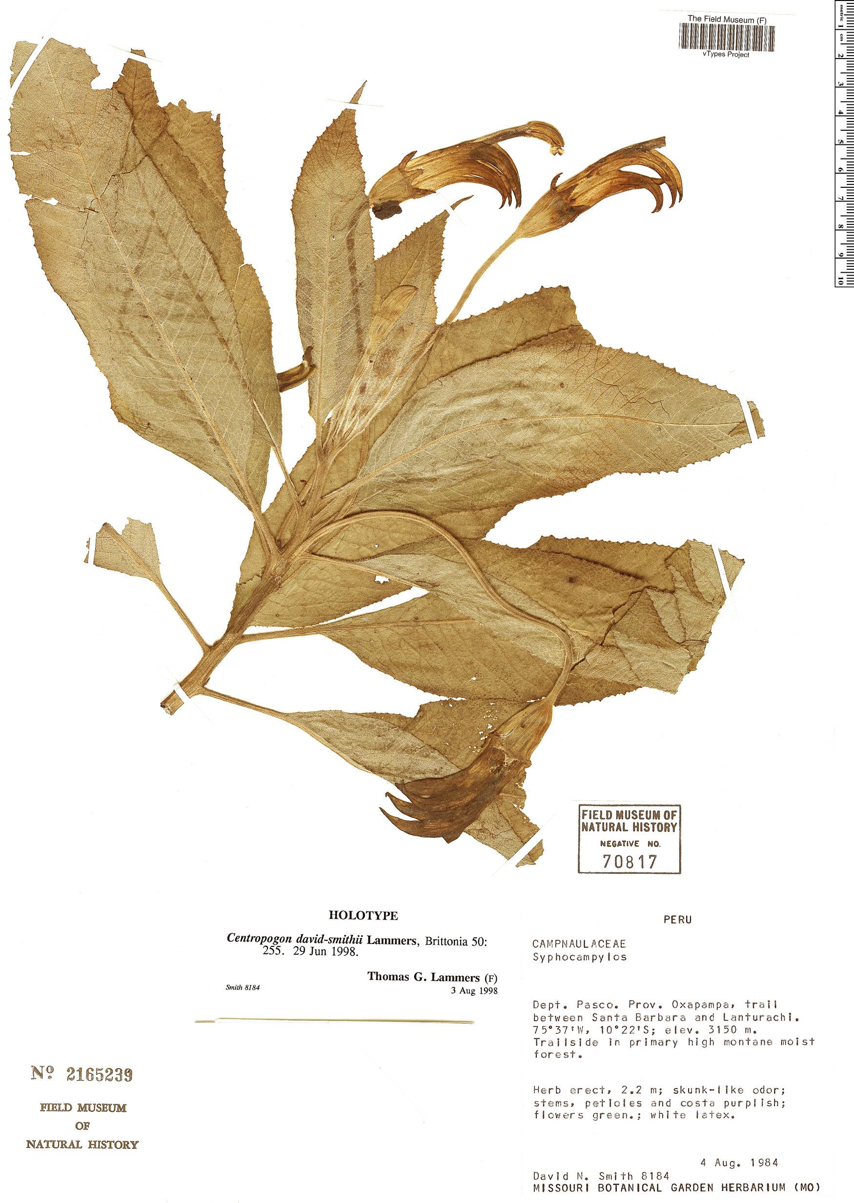 Specimen: Centropogon david-smithii