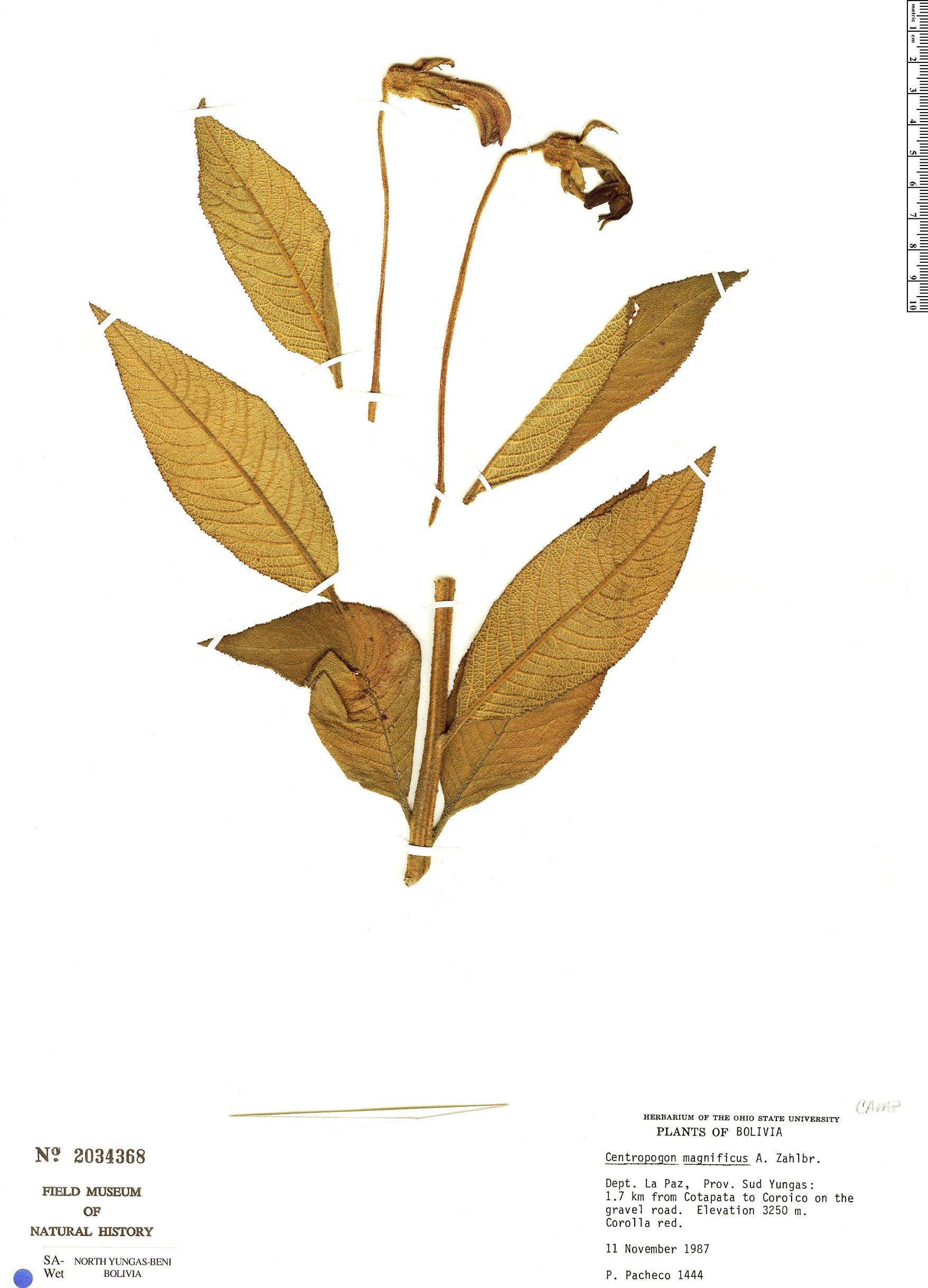 Espécimen: Centropogon magnificus