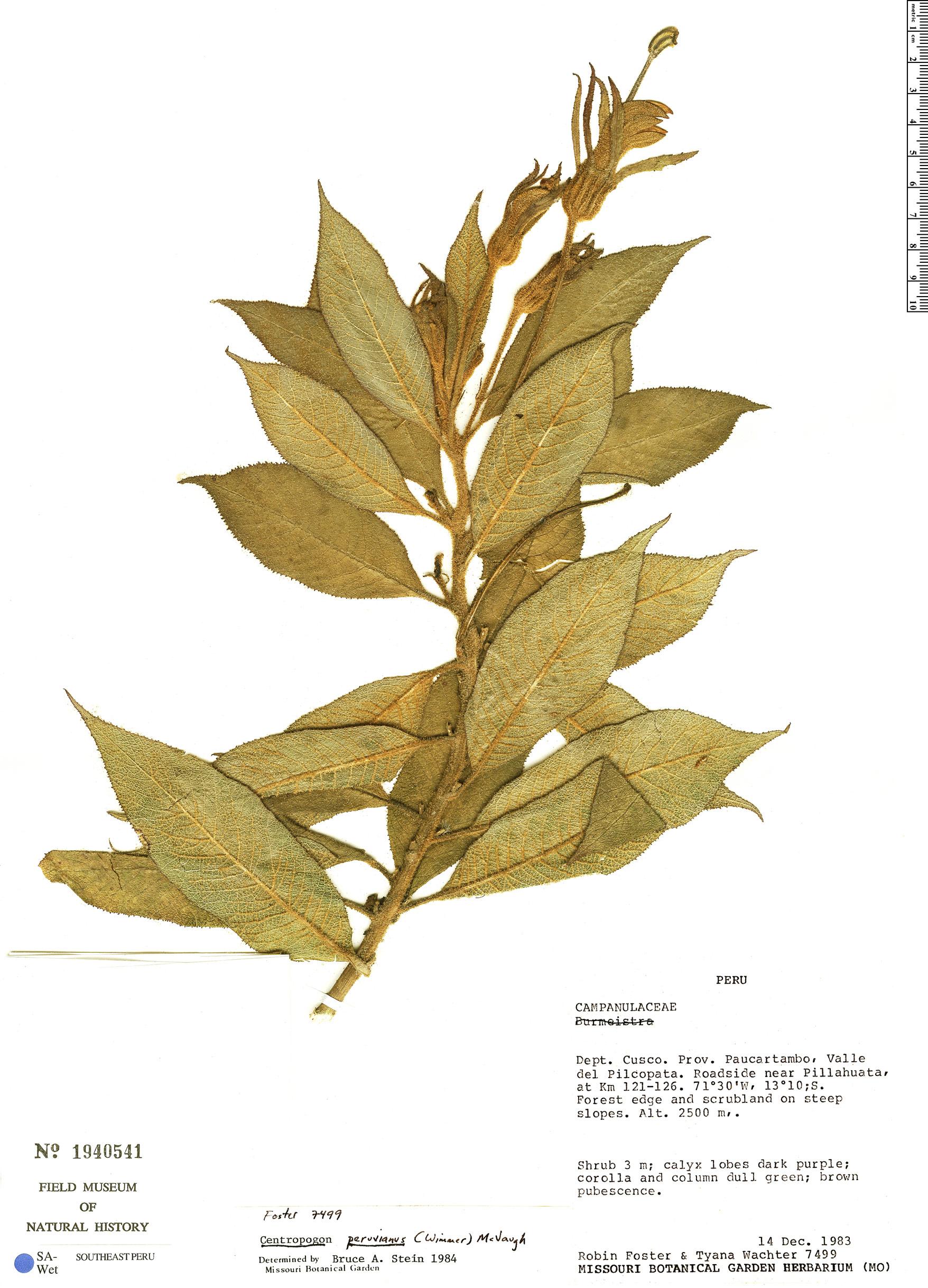 Specimen: Centropogon peruvianus