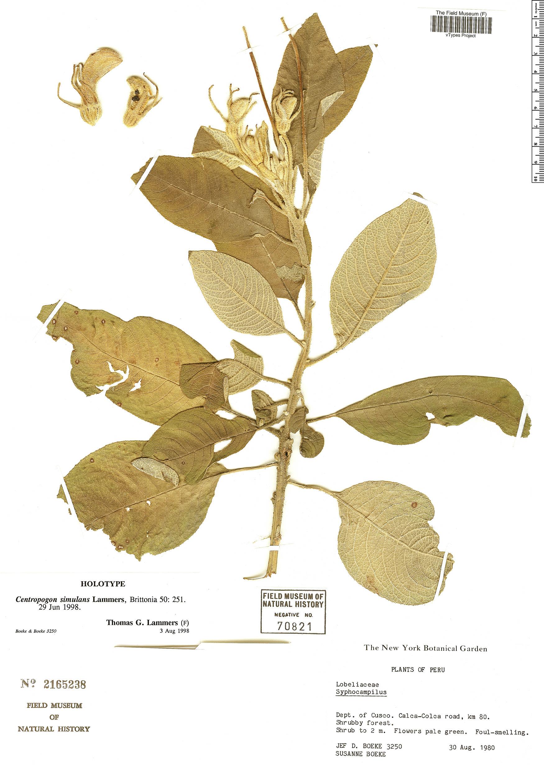 Specimen: Centropogon simulans