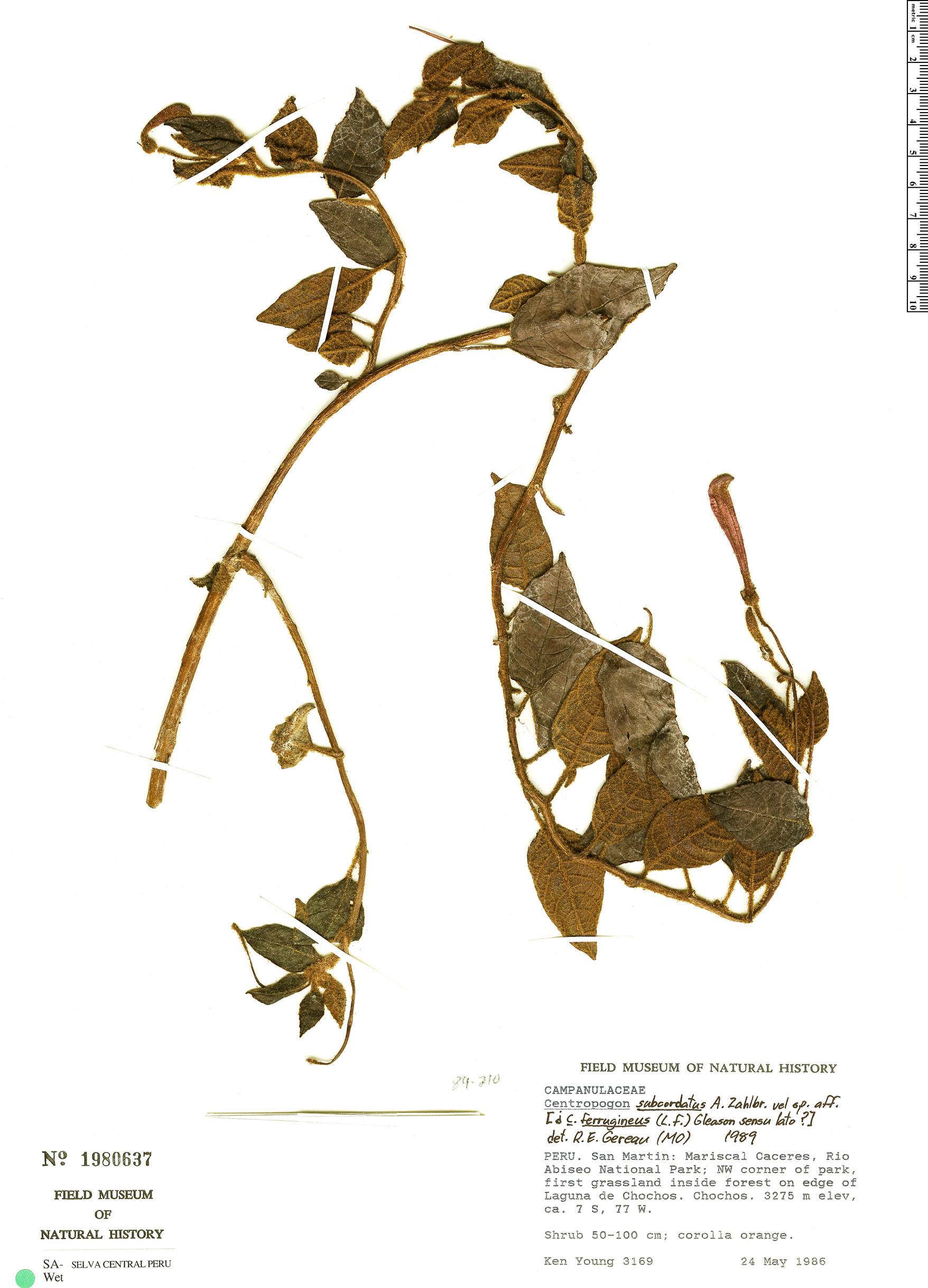 Specimen: Centropogon subcordatus