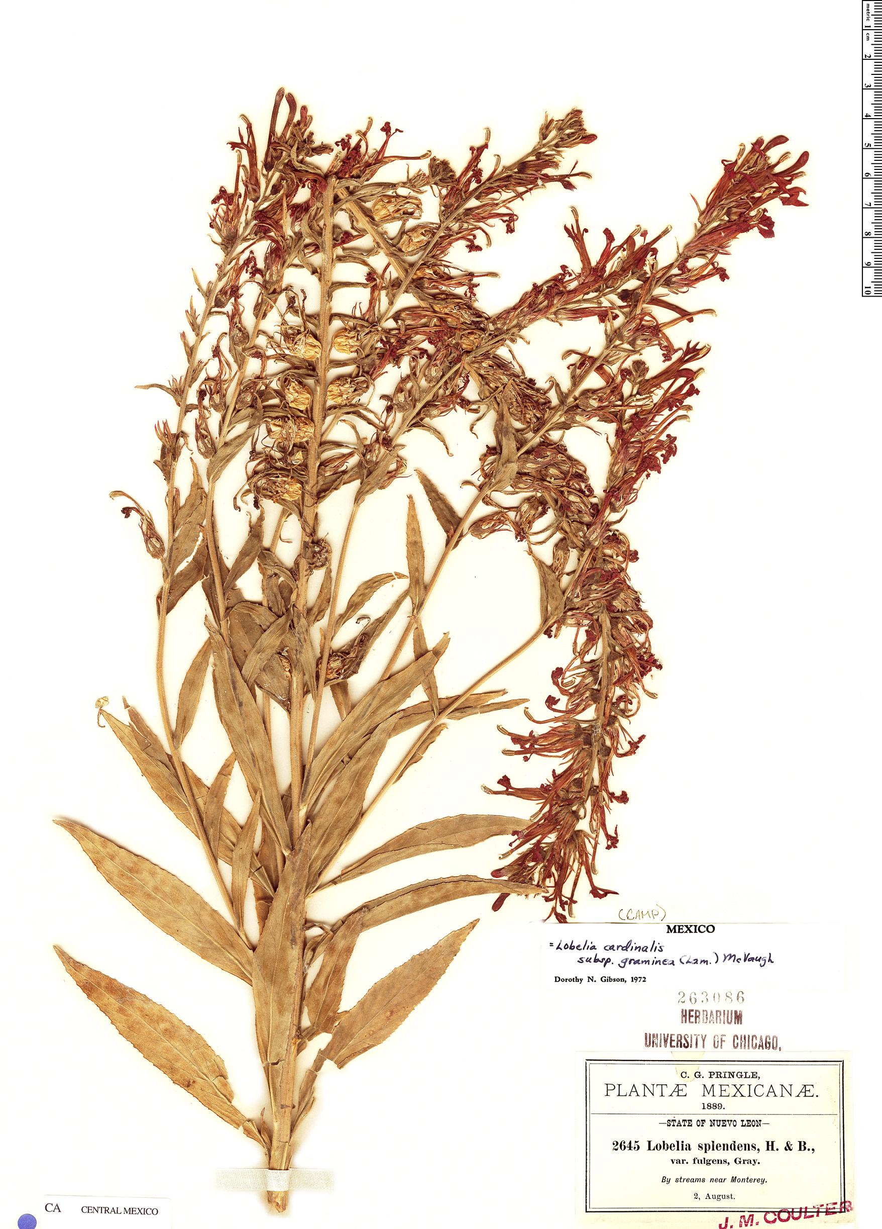Espécime: Lobelia cardinalis