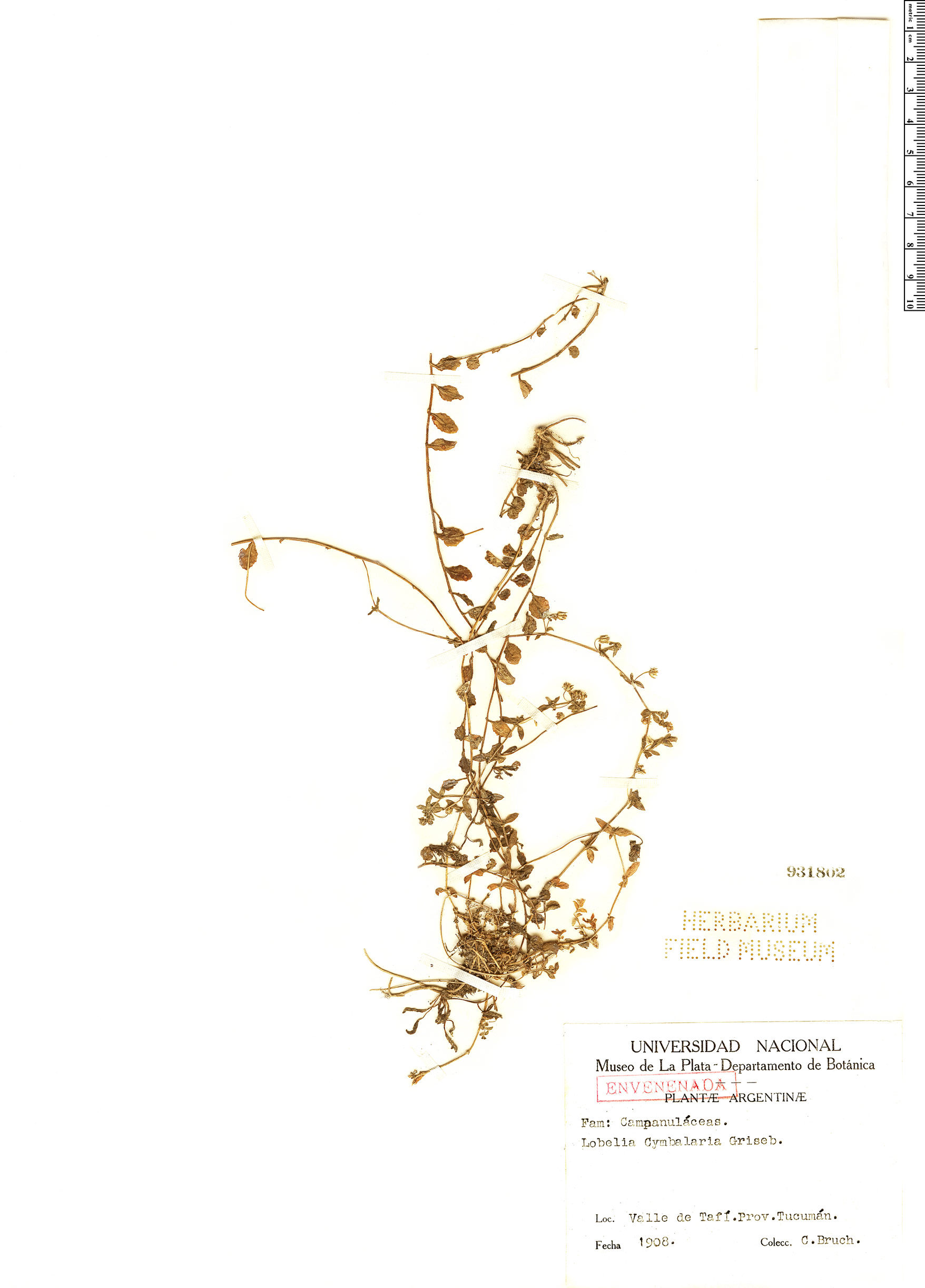 Specimen: Lobelia cymbalaria