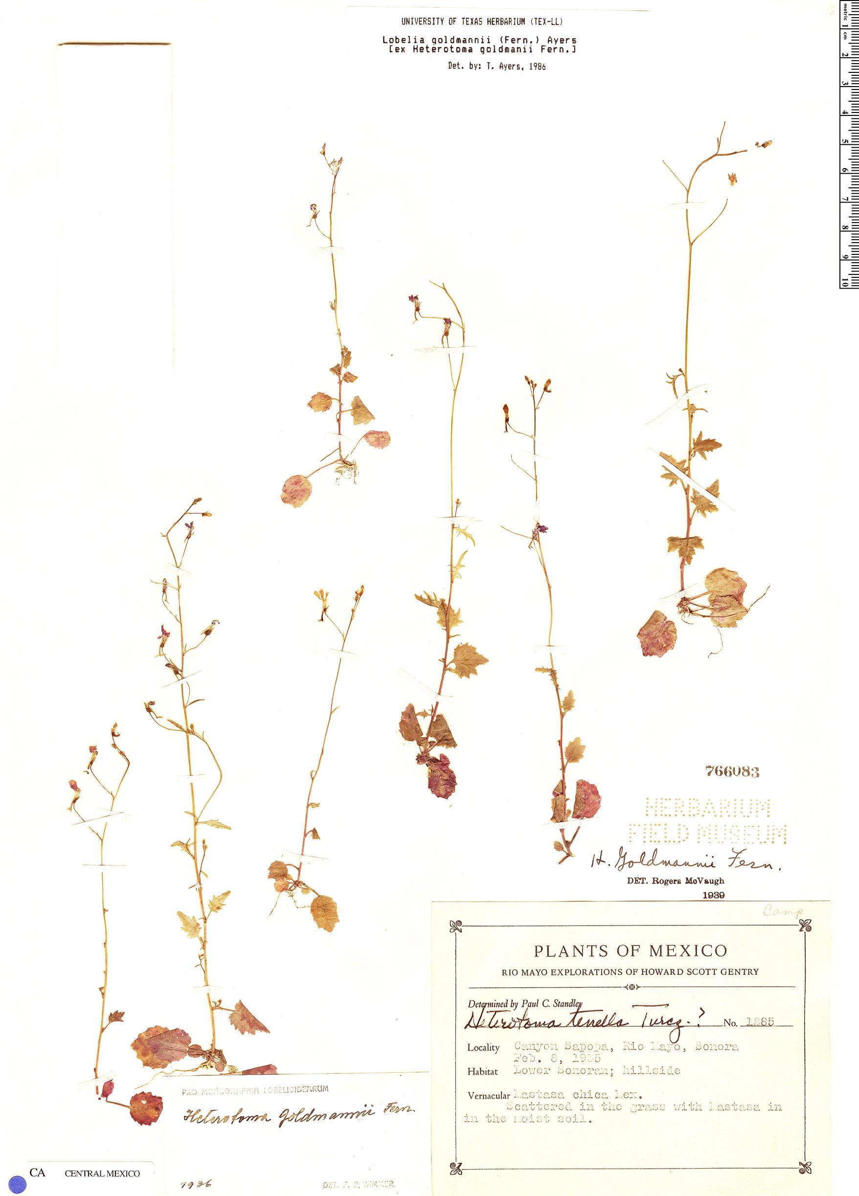 Lobelia goldmanii image