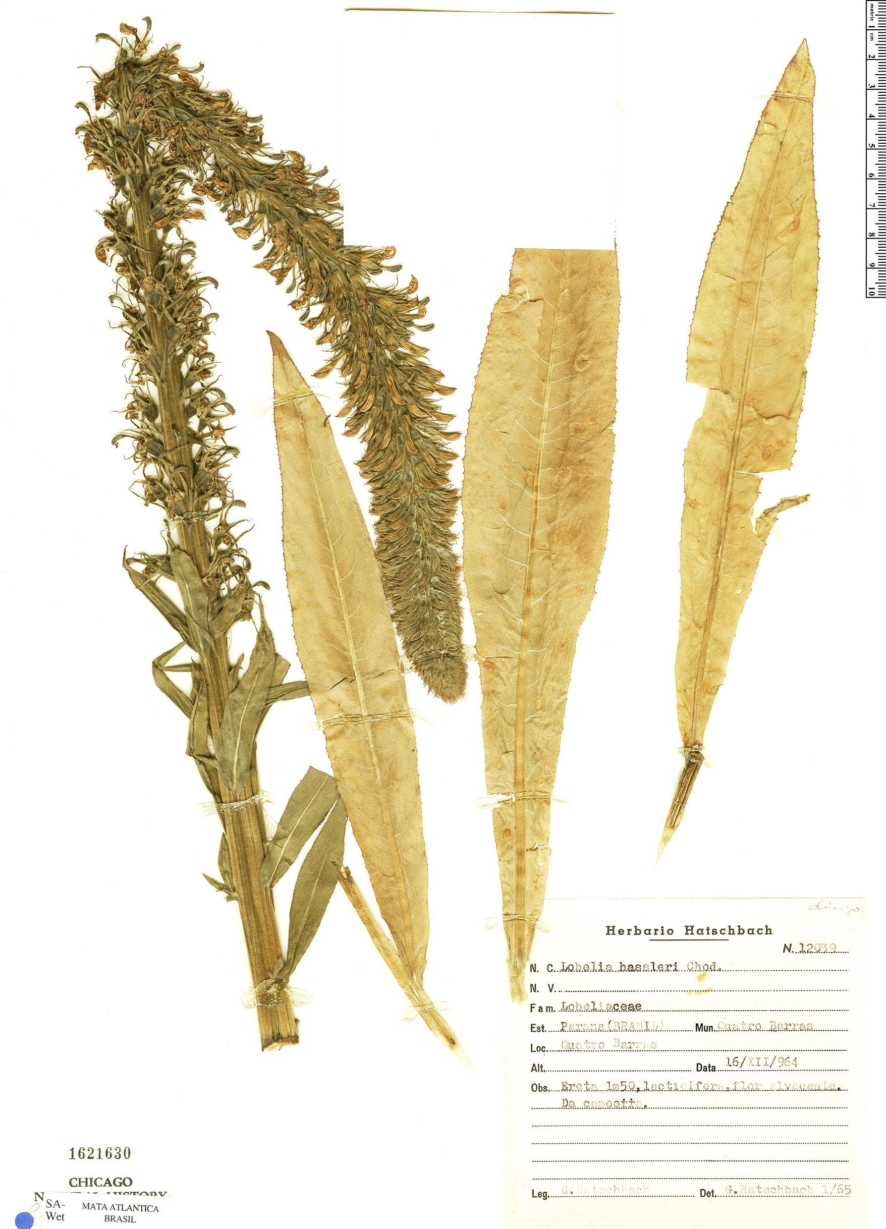 Specimen: Lobelia hassleri