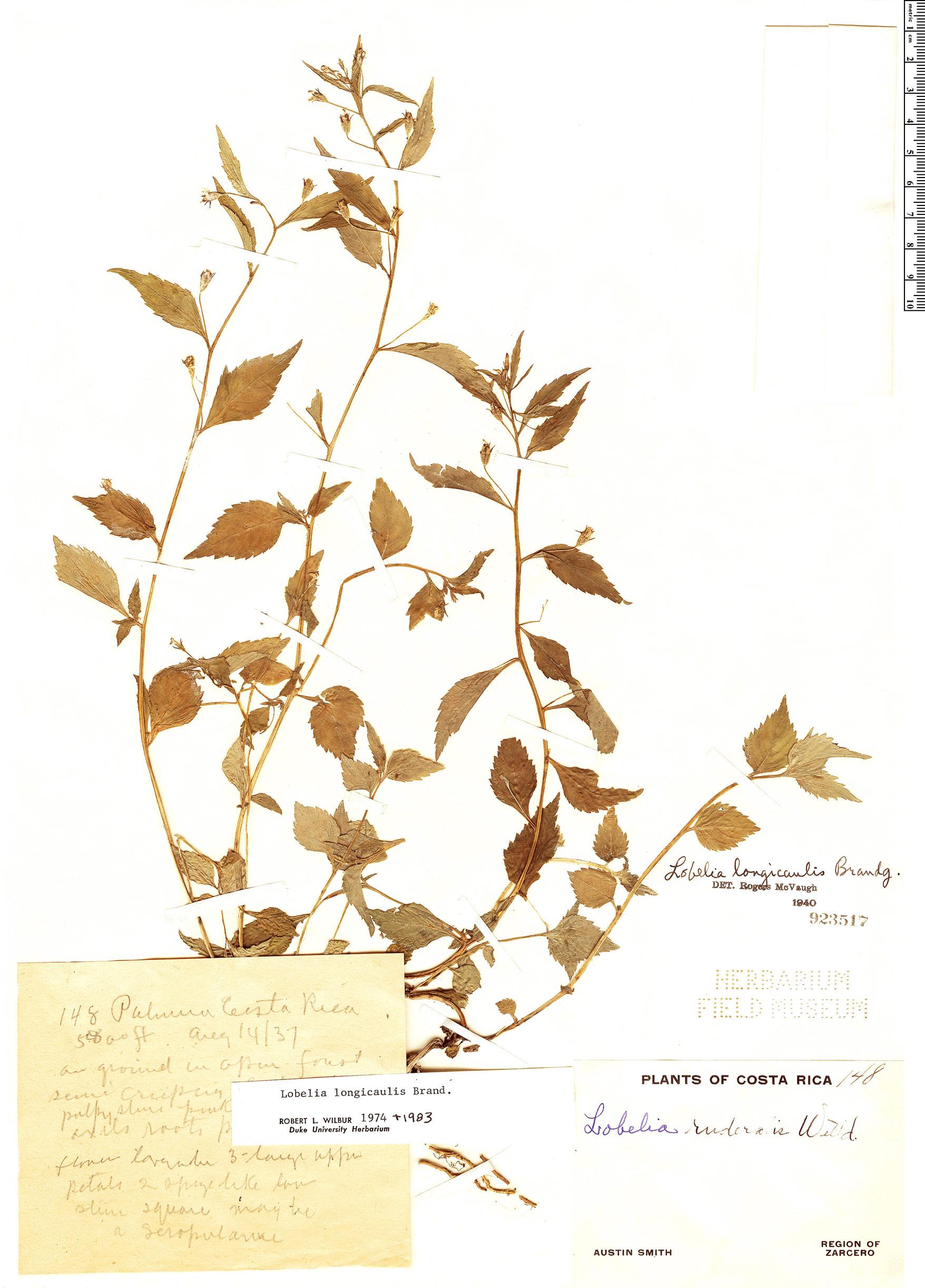 Specimen: Lobelia longicaulis