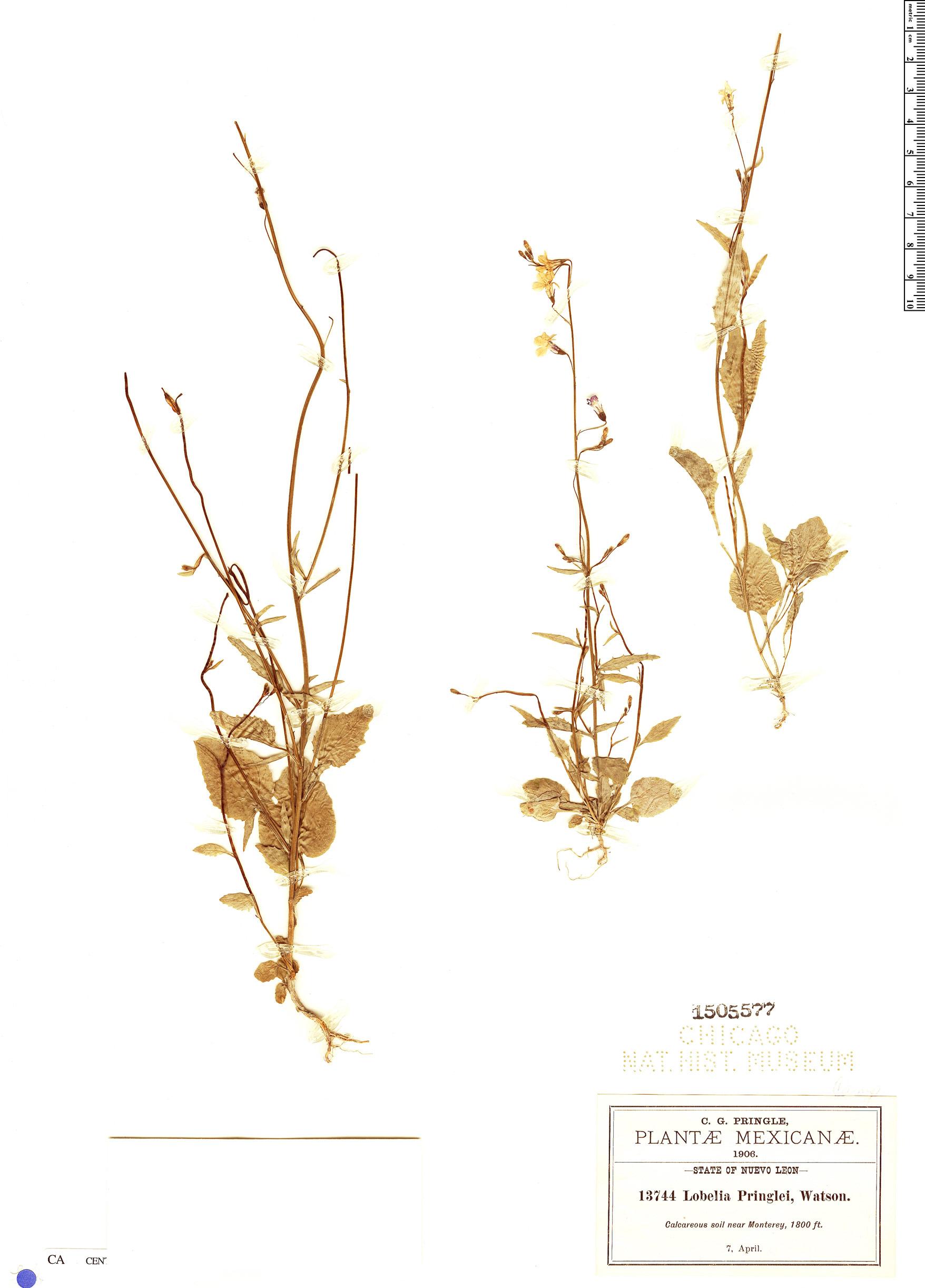 Espécimen: Lobelia pringlei