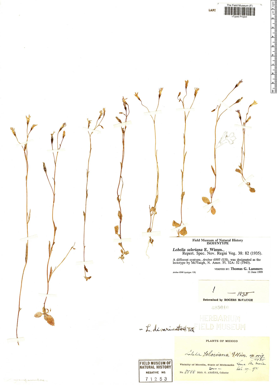 Specimen: Lobelia seleriana