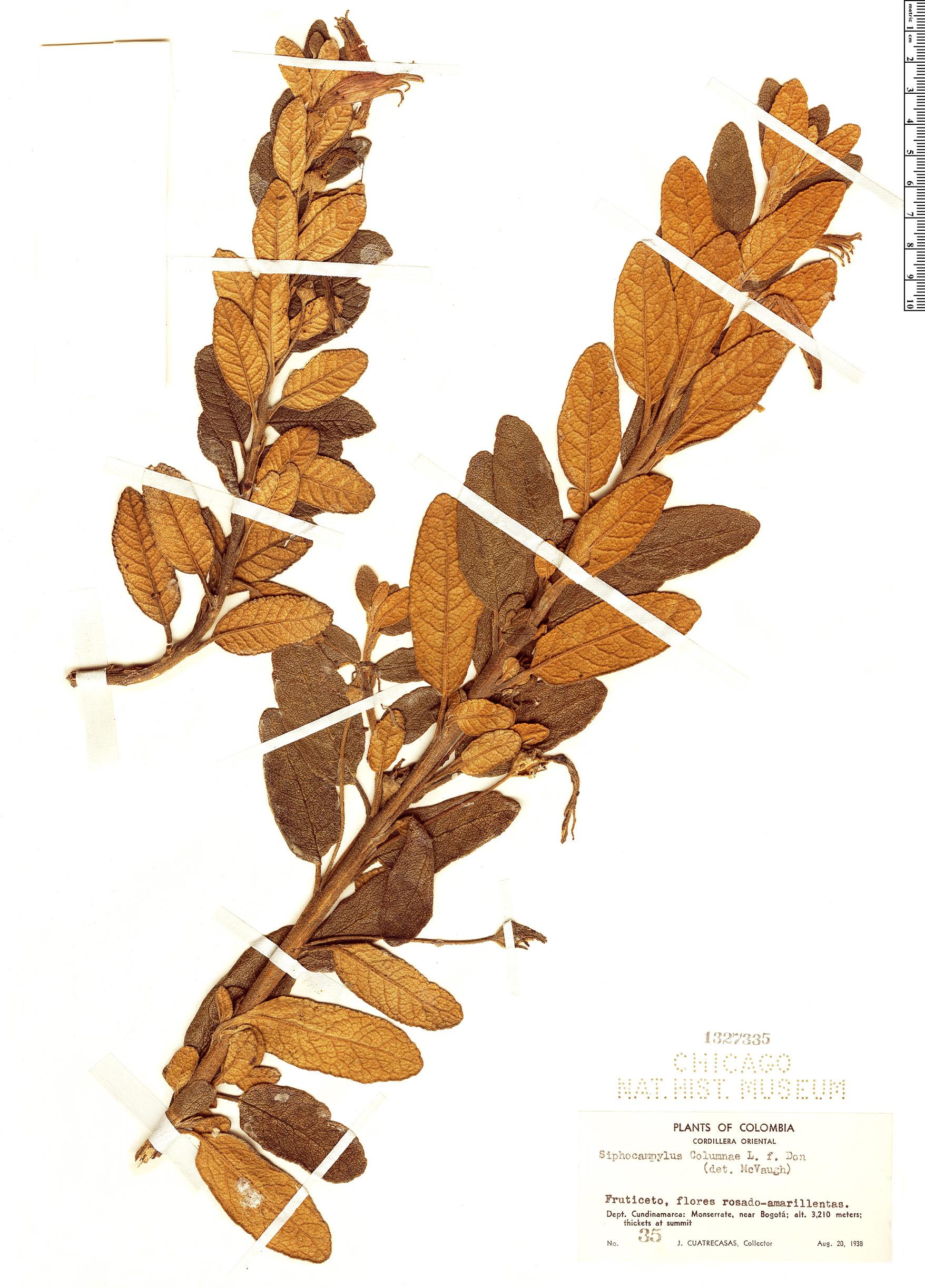 Specimen: Siphocampylus columnae