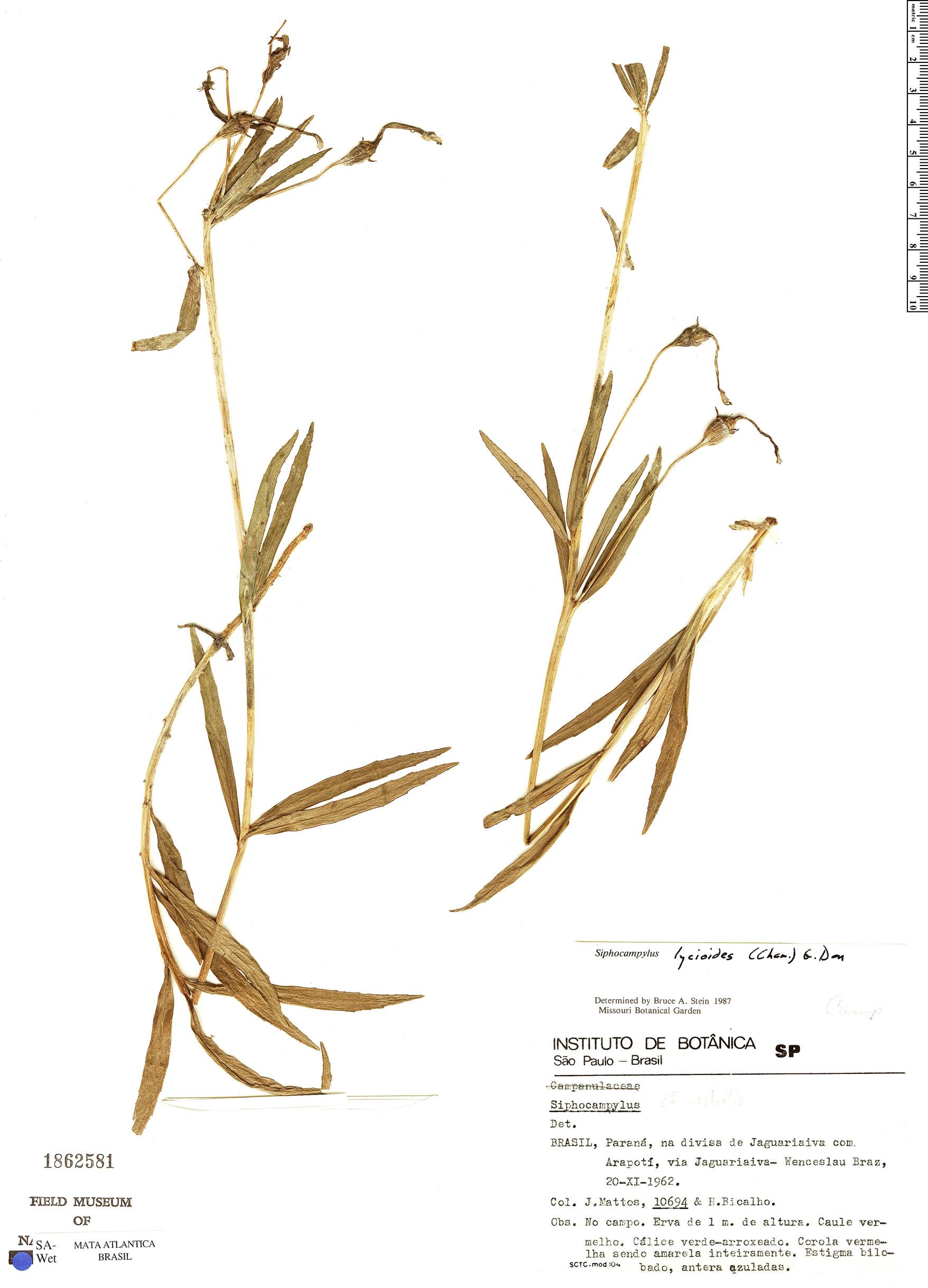 Specimen: Siphocampylus lycioides