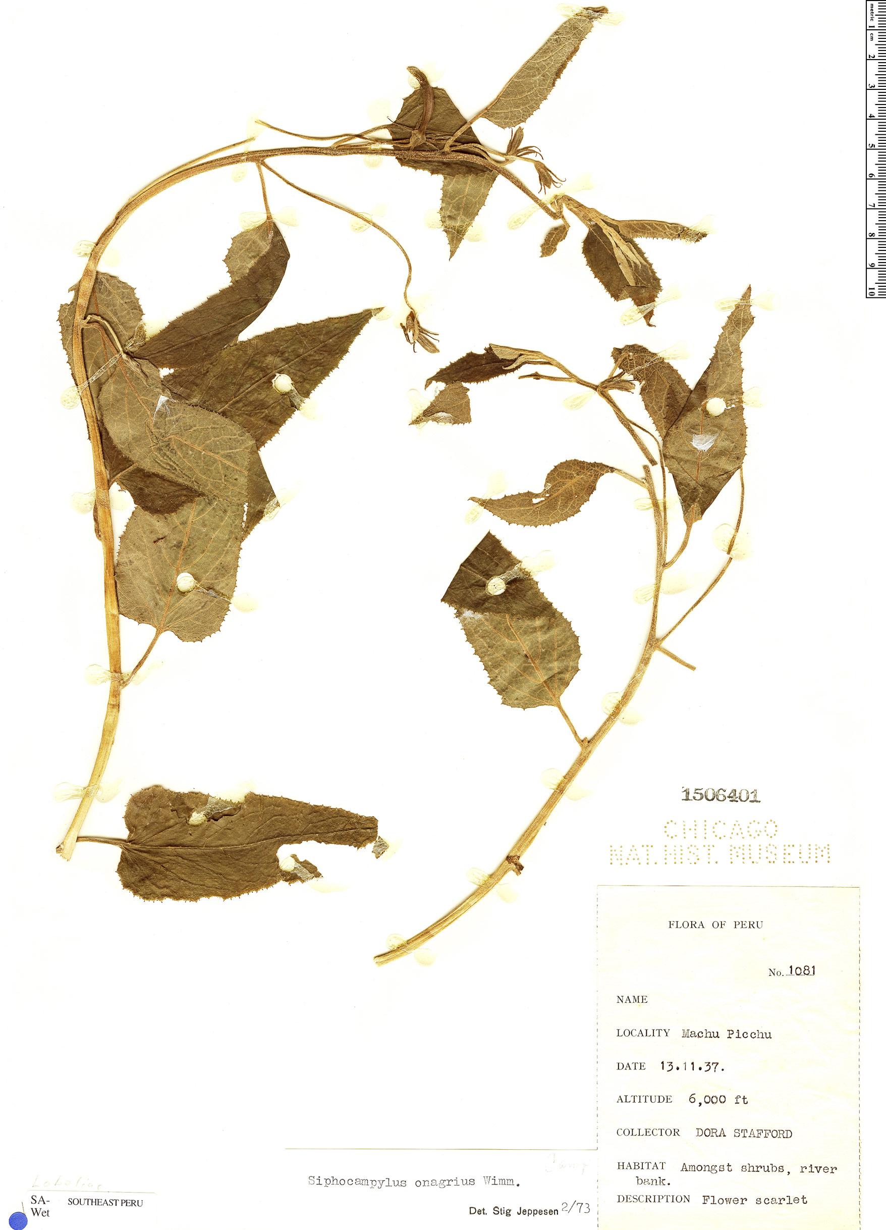 Specimen: Siphocampylus onagrius