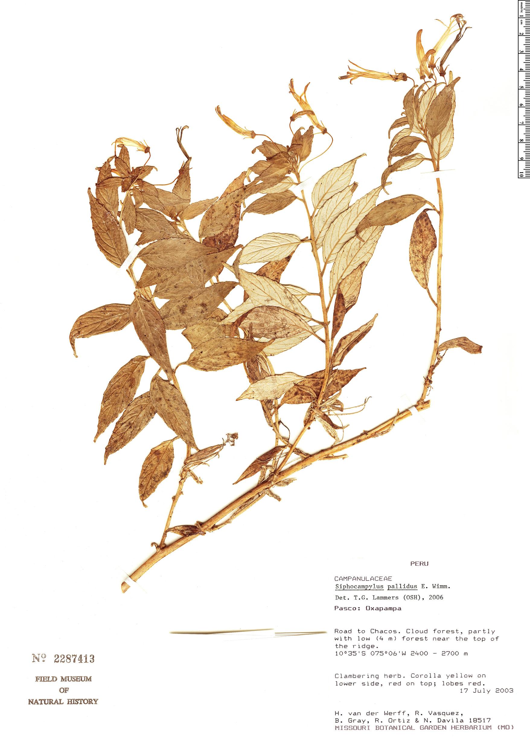 Specimen: Siphocampylus pallidus