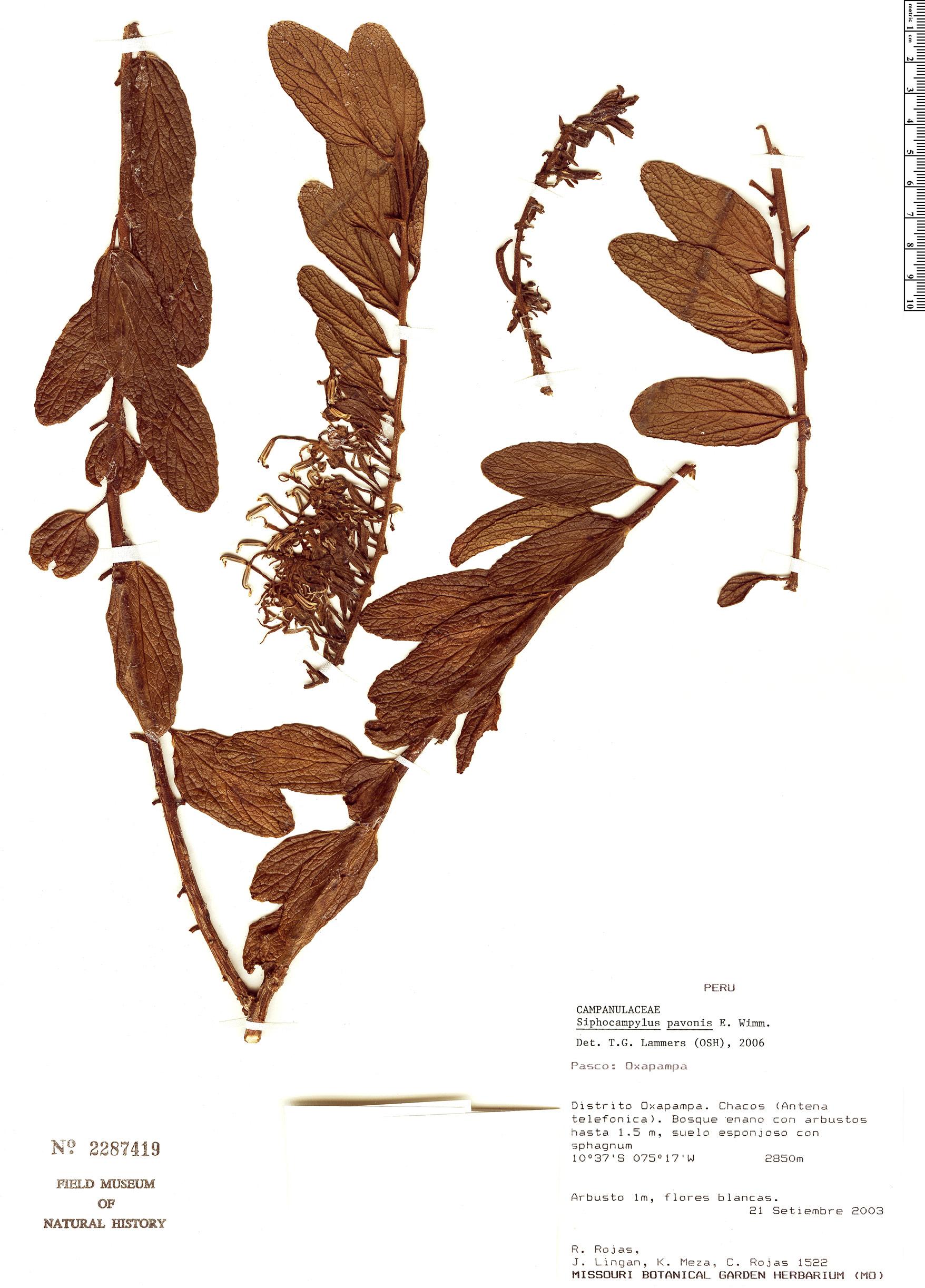 Specimen: Siphocampylus pavonis
