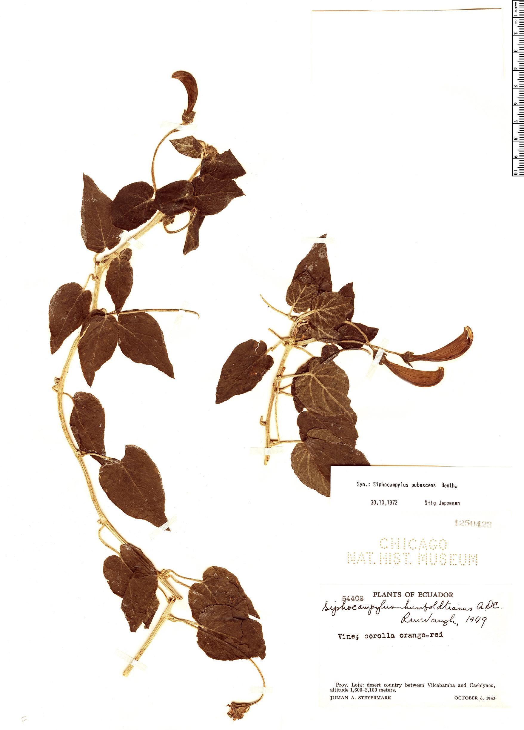 Specimen: Siphocampylus pubescens