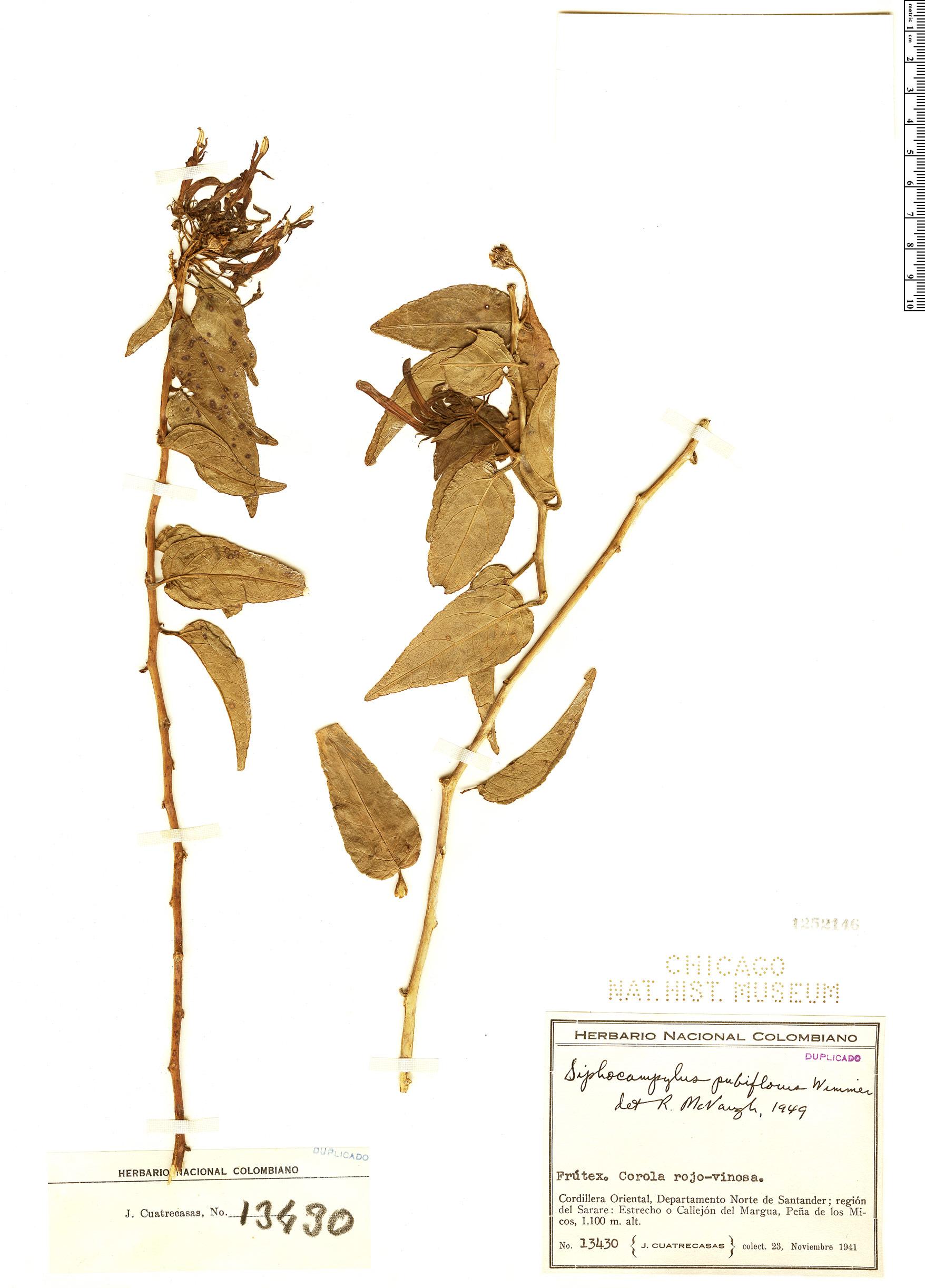 Specimen: Siphocampylus pubiflorus