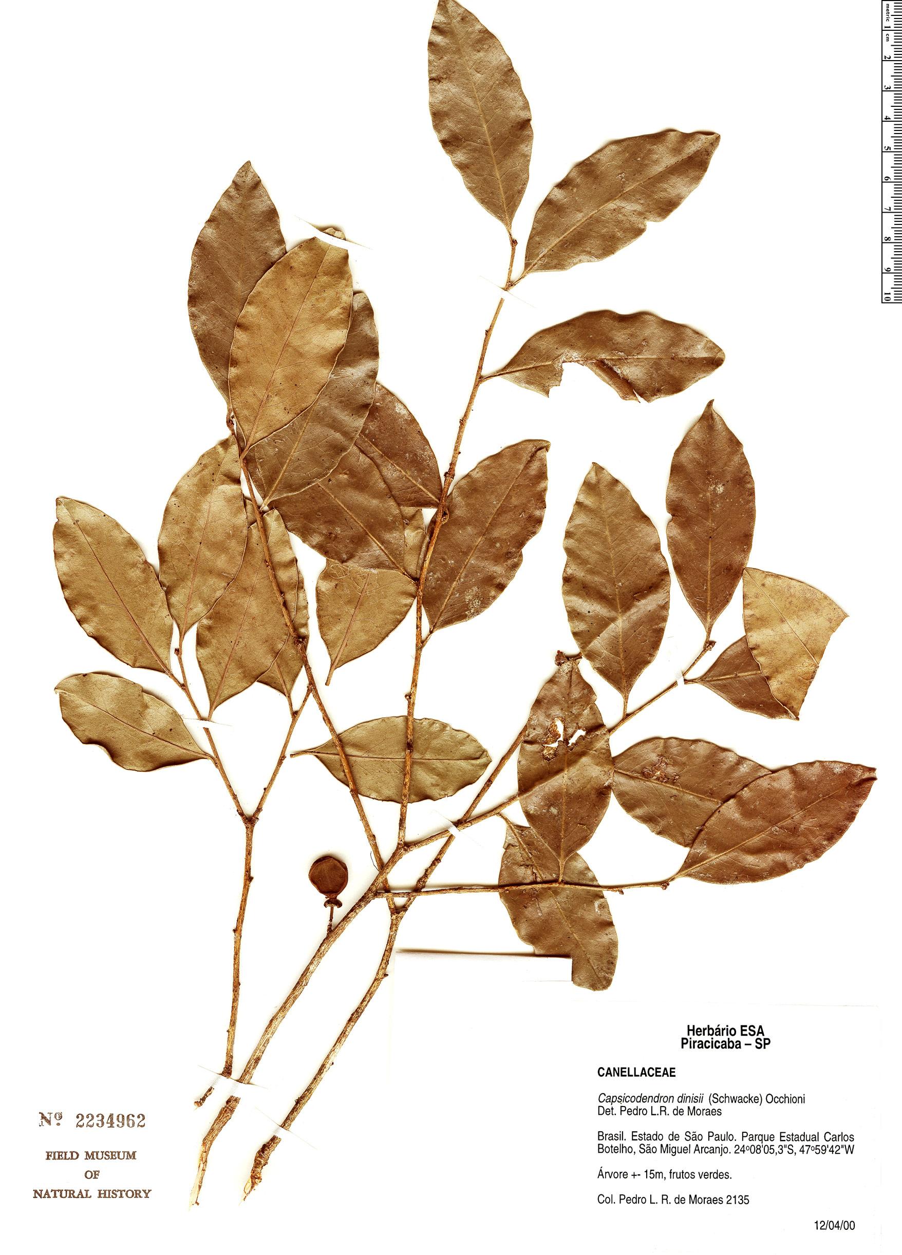 Specimen: Capsicodendron dinisii