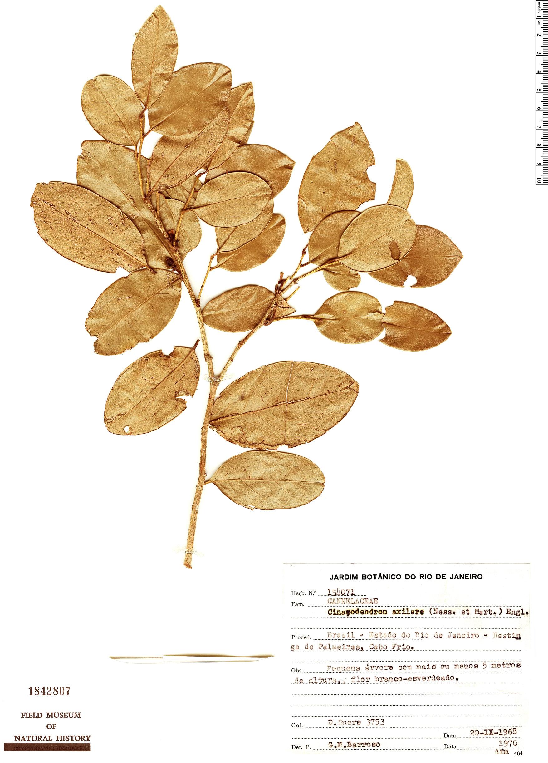 Specimen: Cinnamodendron axillare