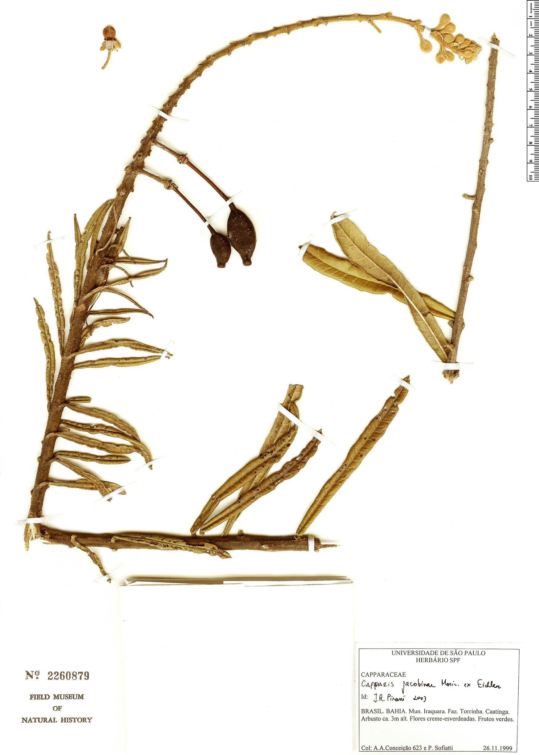 Specimen: Neocalyptrocalyx longifolium