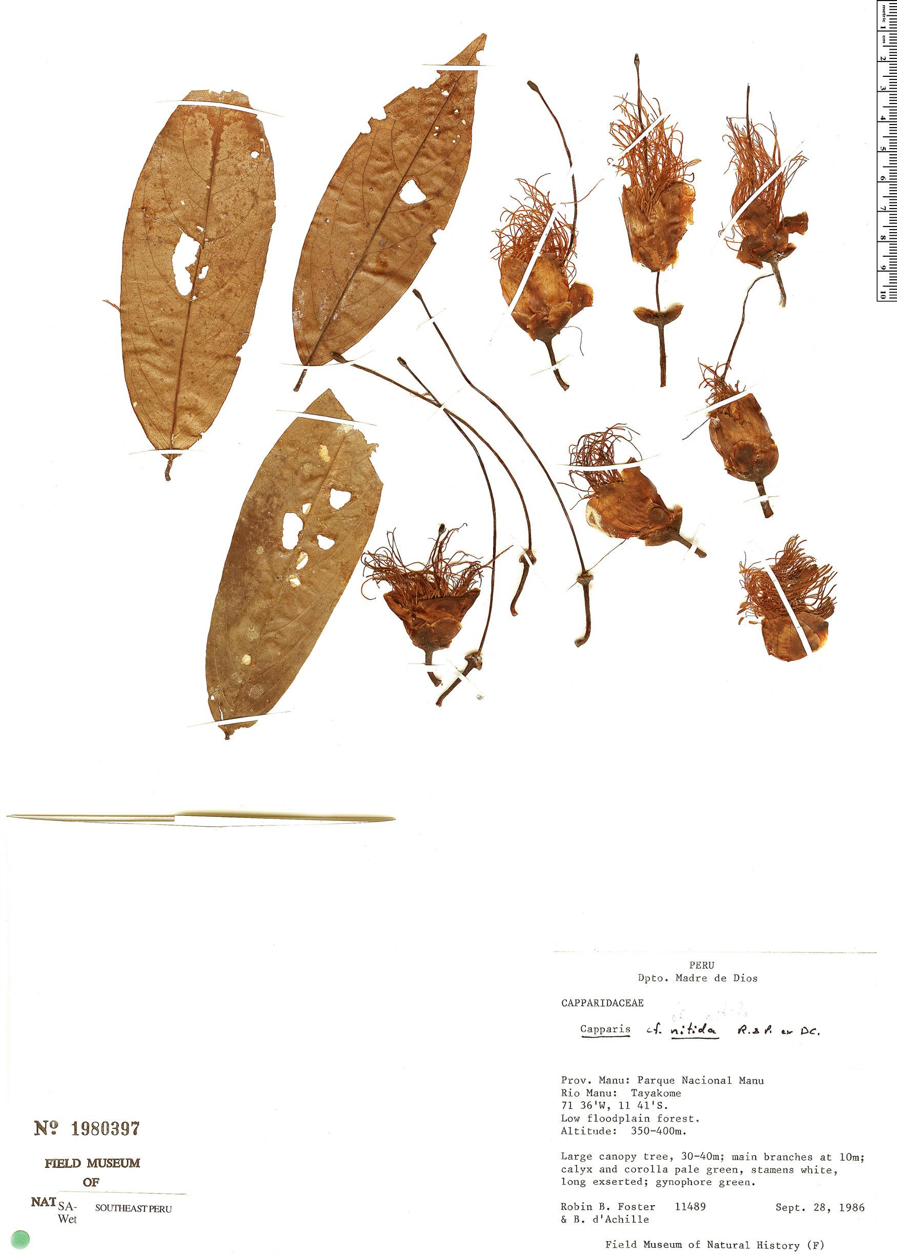 Specimen: Cynophalla