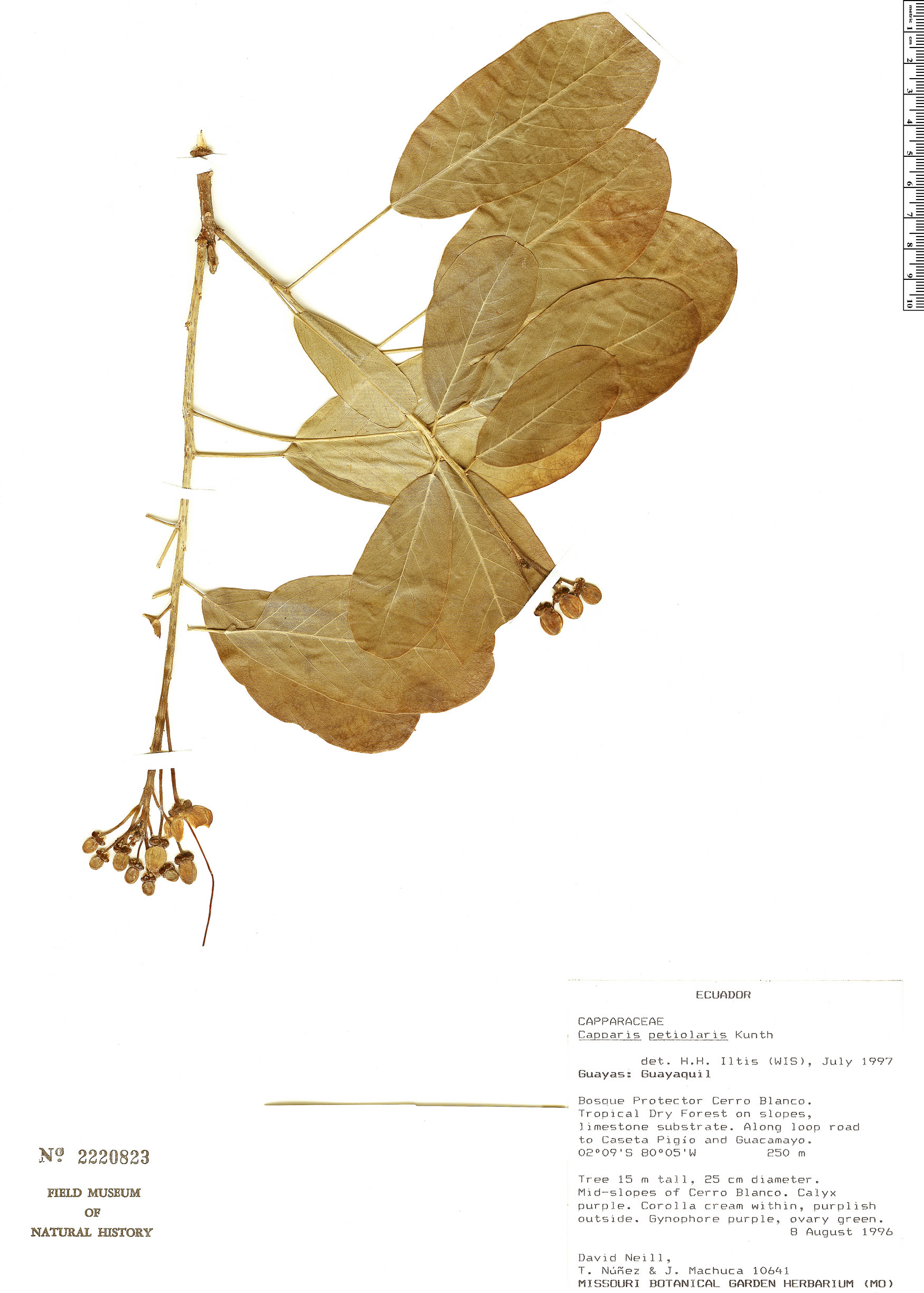 Specimen: Capparidastrum petiolare