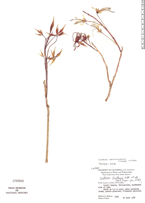 Specimen: Crateva yarinacochaensis