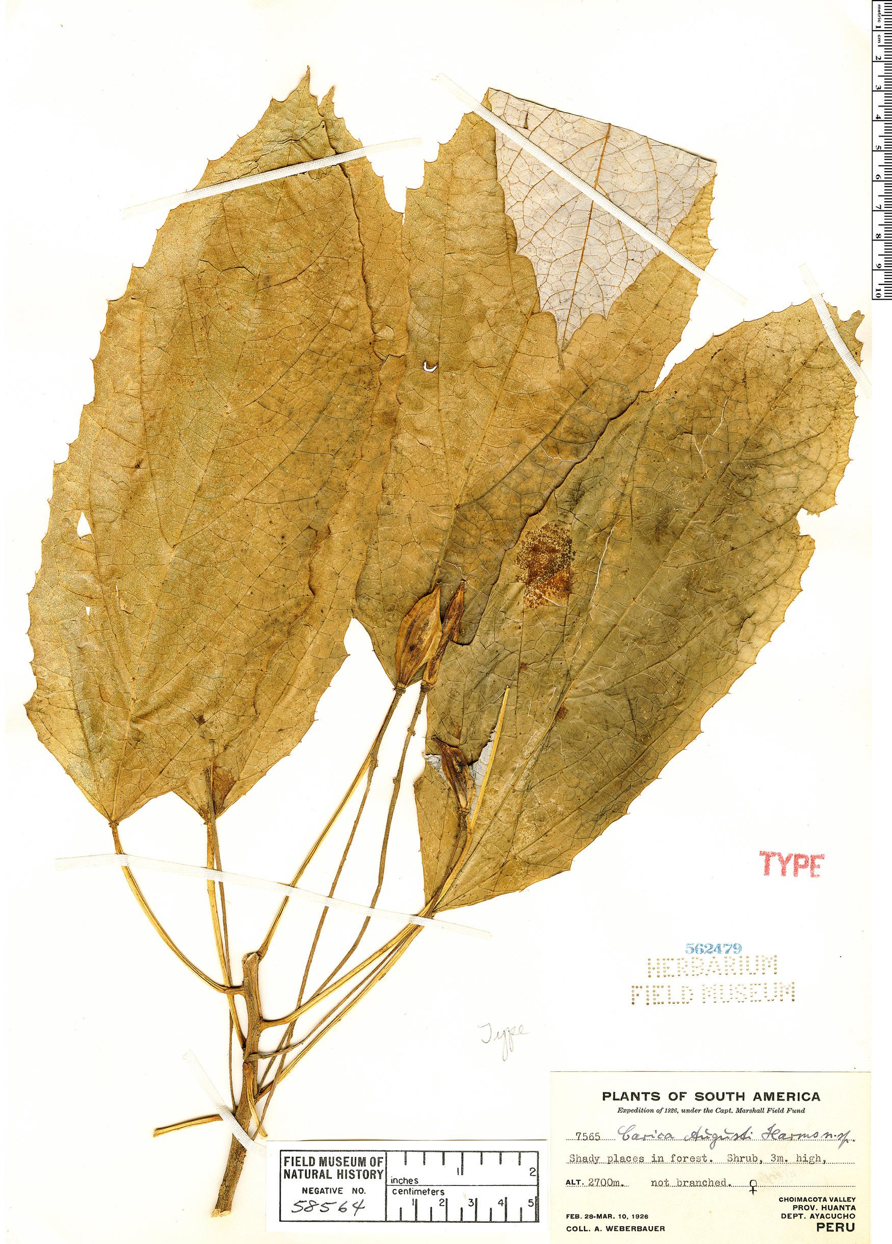 Specimen: Vasconcellea quercifolia