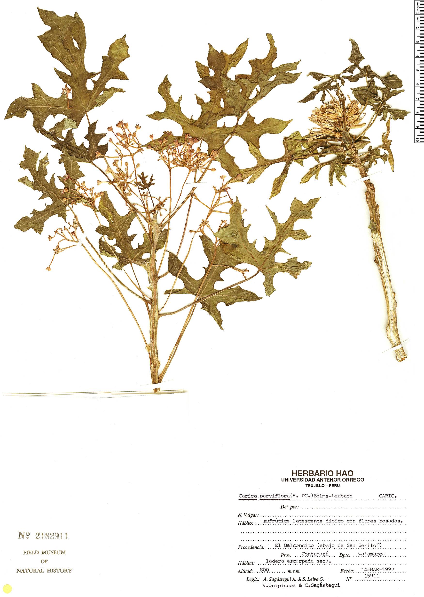 Specimen: Vasconcellea parviflora