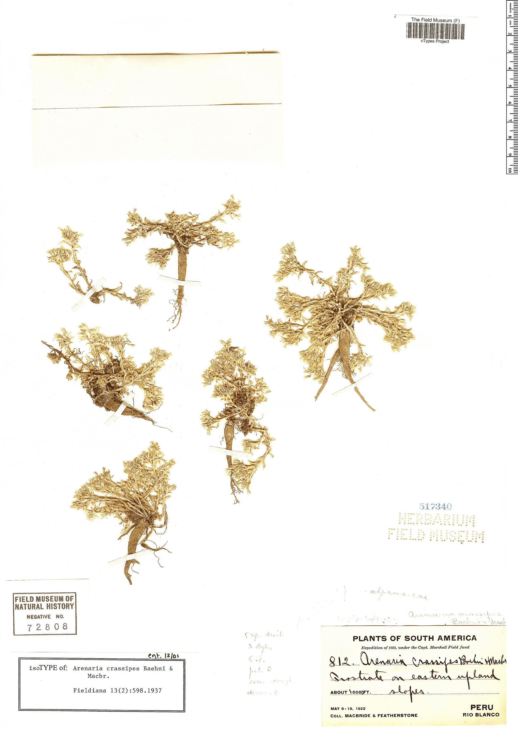 Specimen: Arenaria crassipes