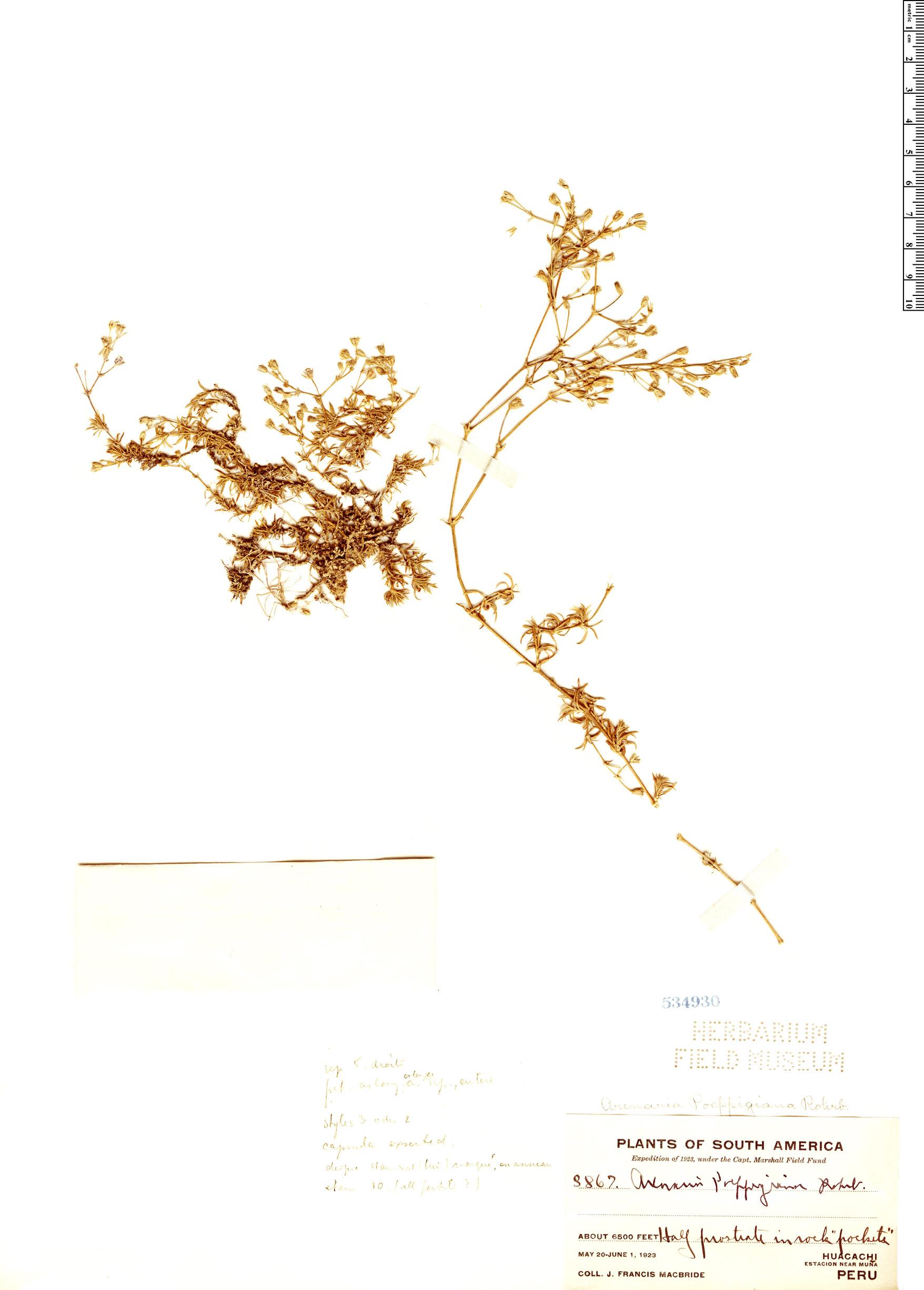 Specimen: Arenaria poeppigiana