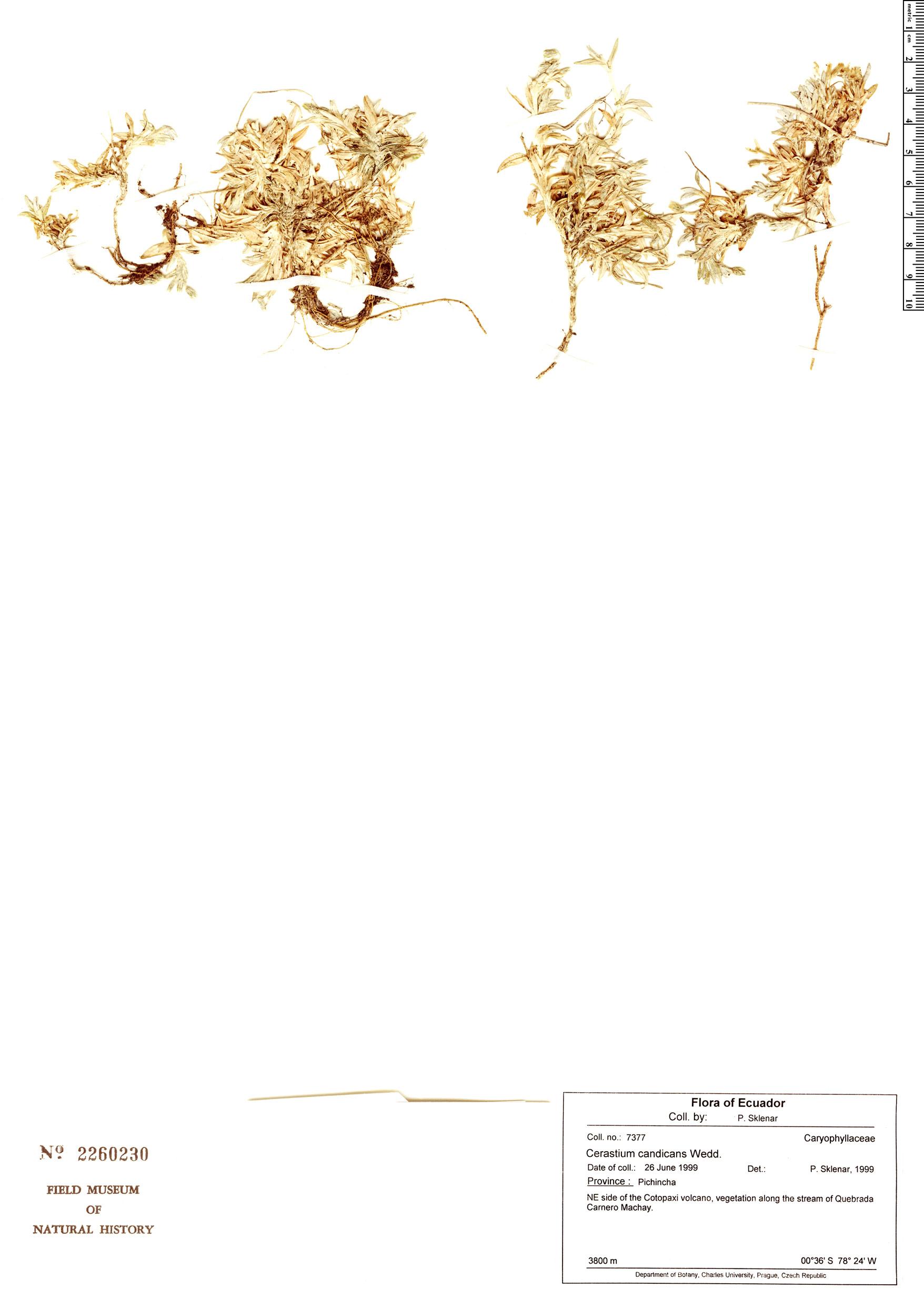 Specimen: Cerastium candicans
