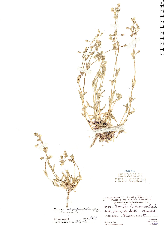 Espécime: Cerastium tucumanense