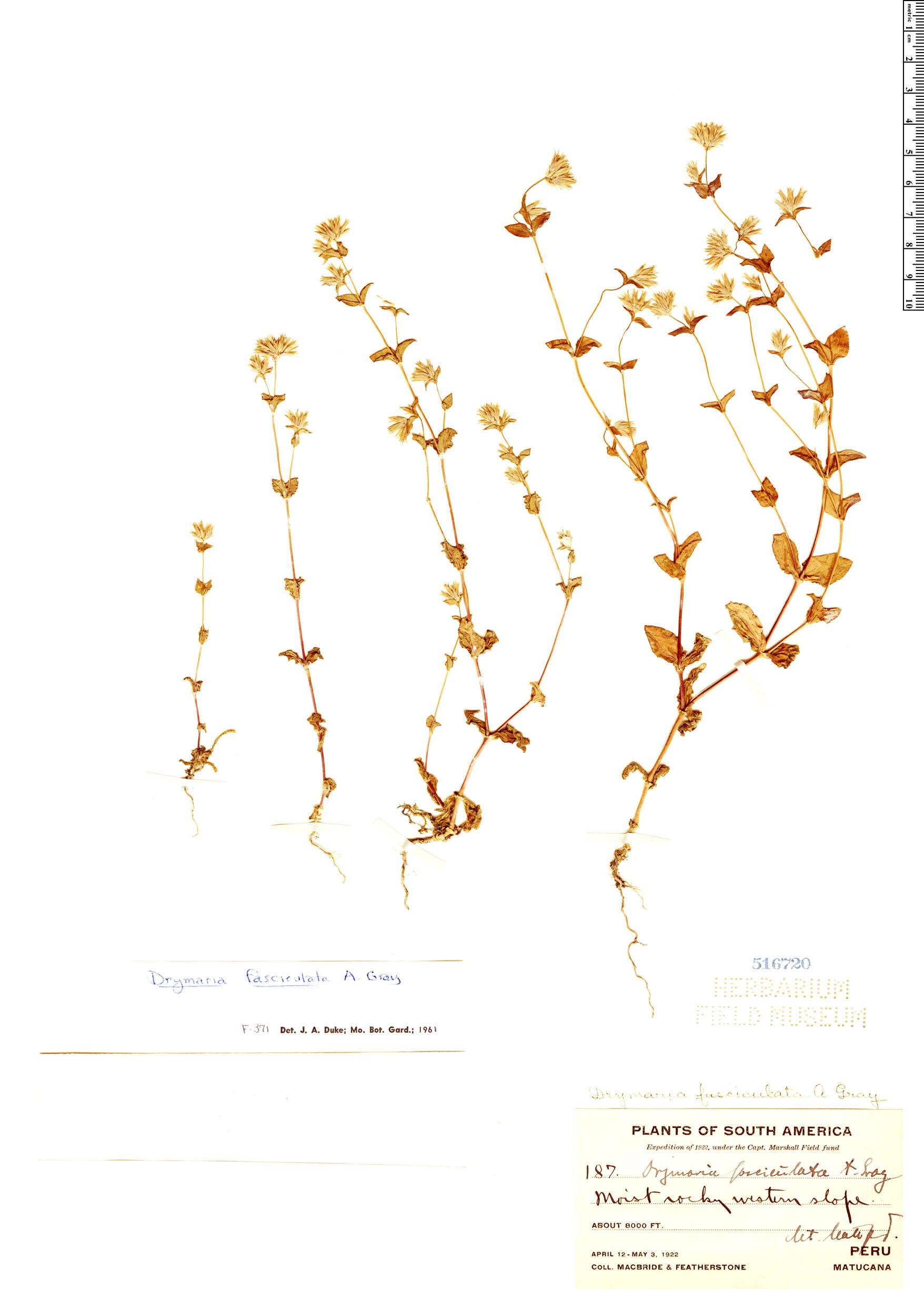 Specimen: Drymaria fasciculata