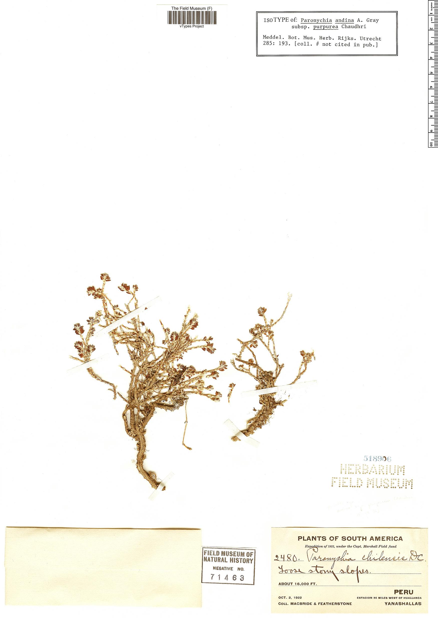 Espécimen: Paronychia andina