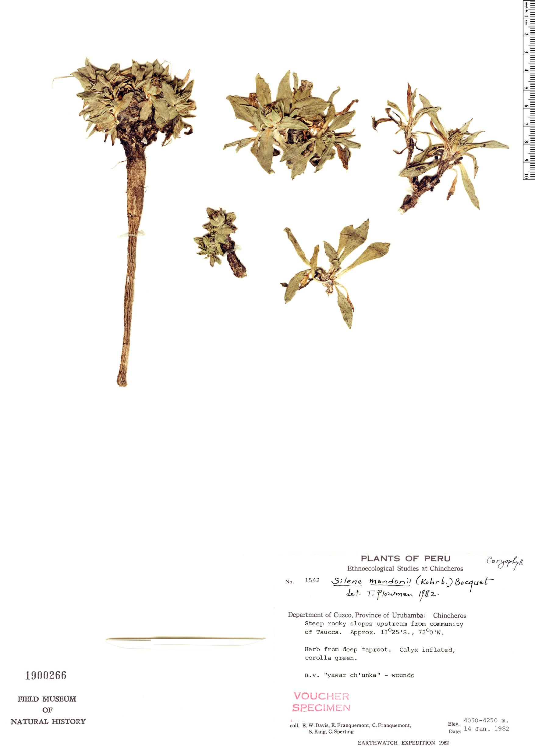 Specimen: Silene mandonii
