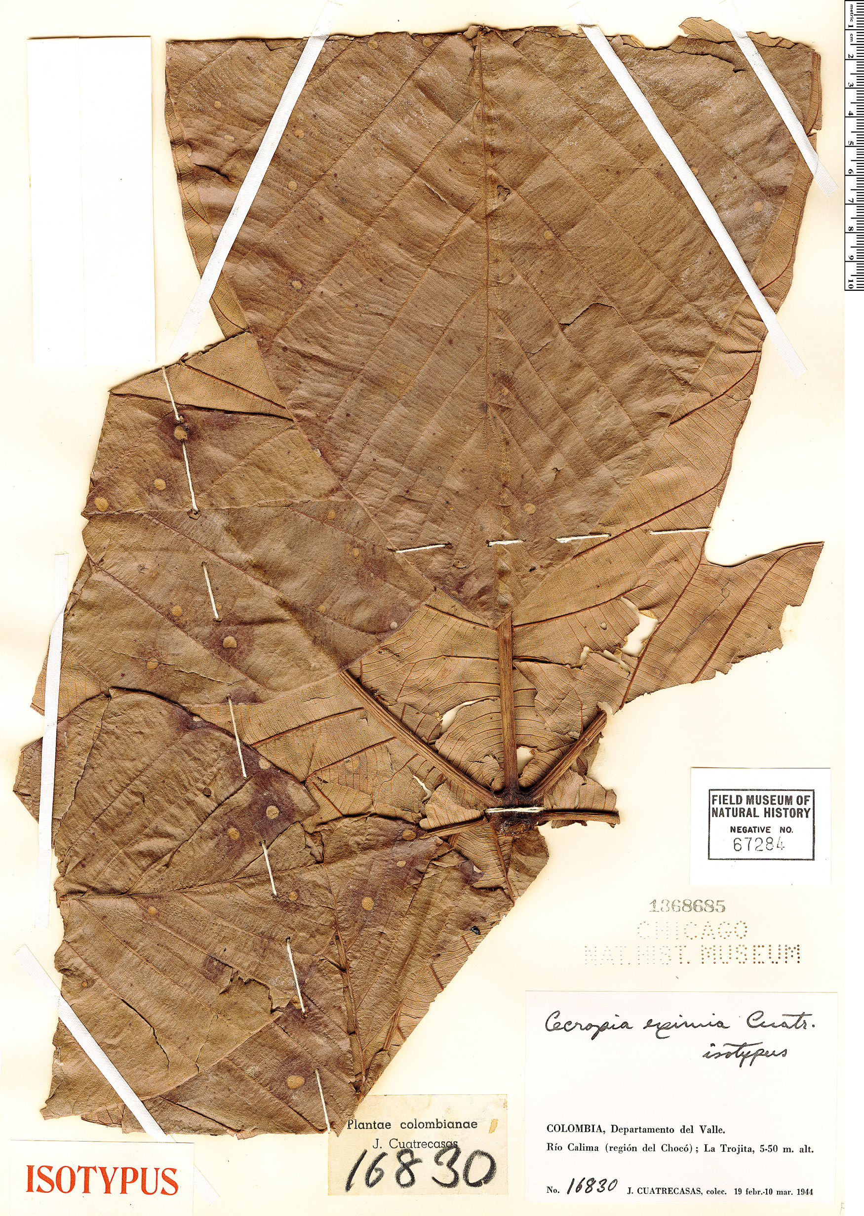 Specimen: Cecropia insignis