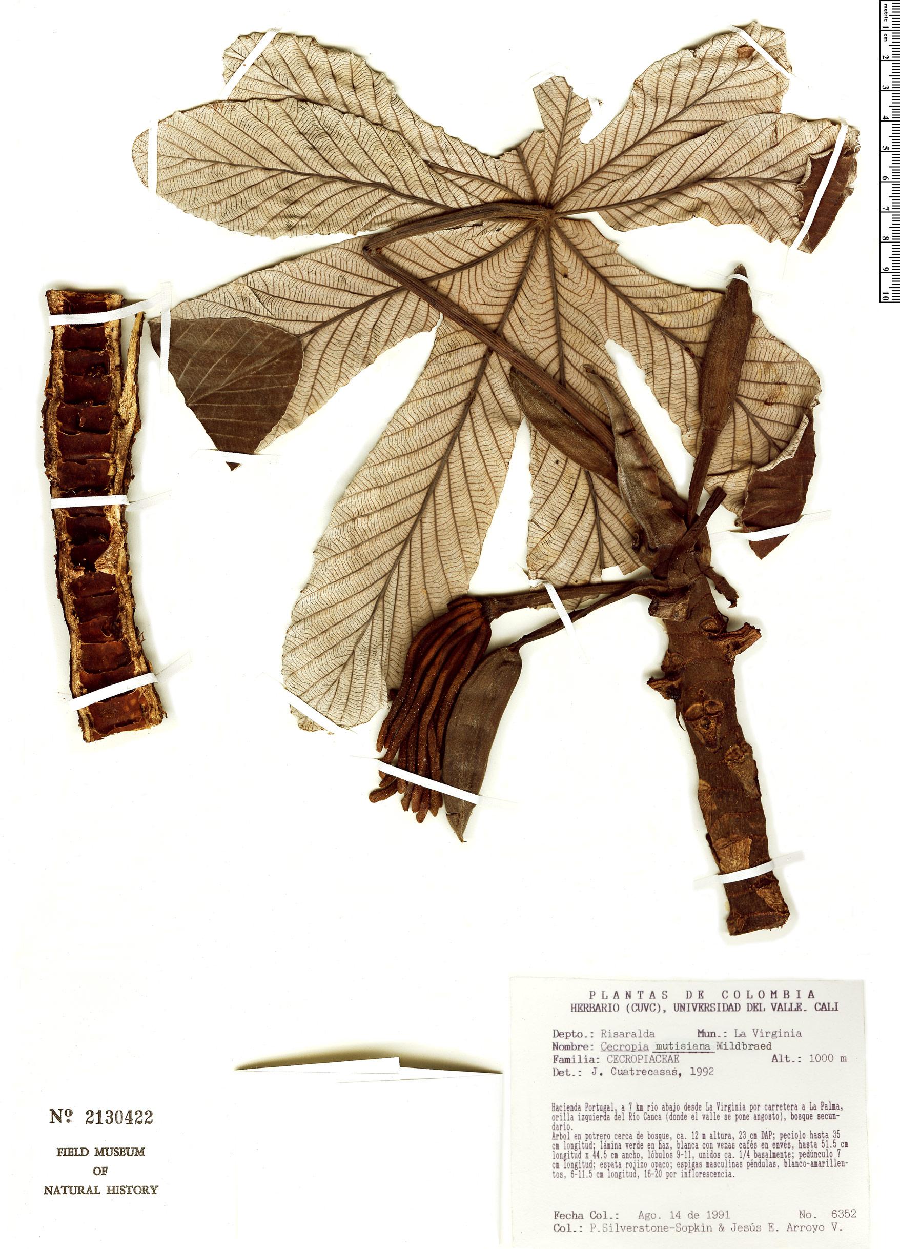 Espécime: Cecropia mutisiana