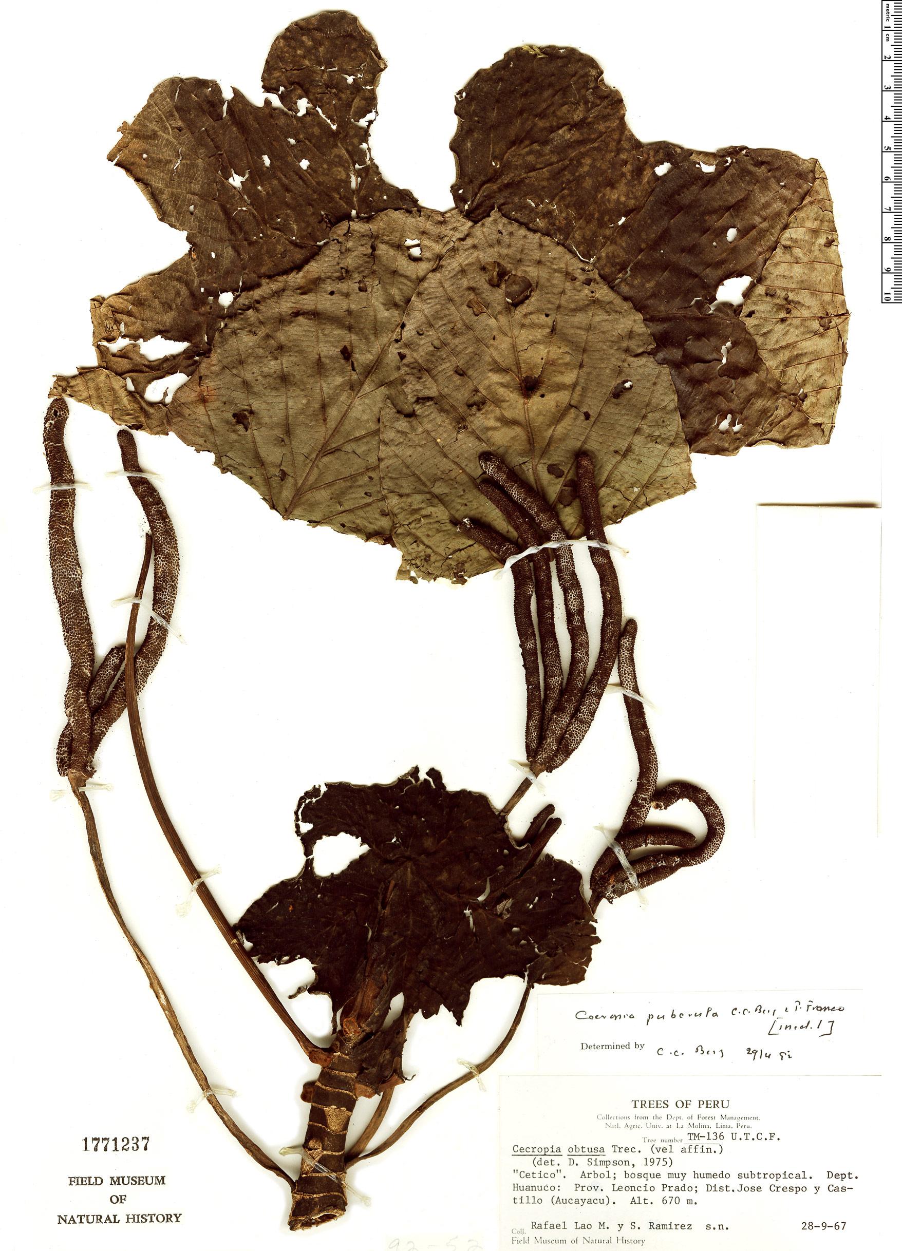 Specimen: Cecropia utcubambana