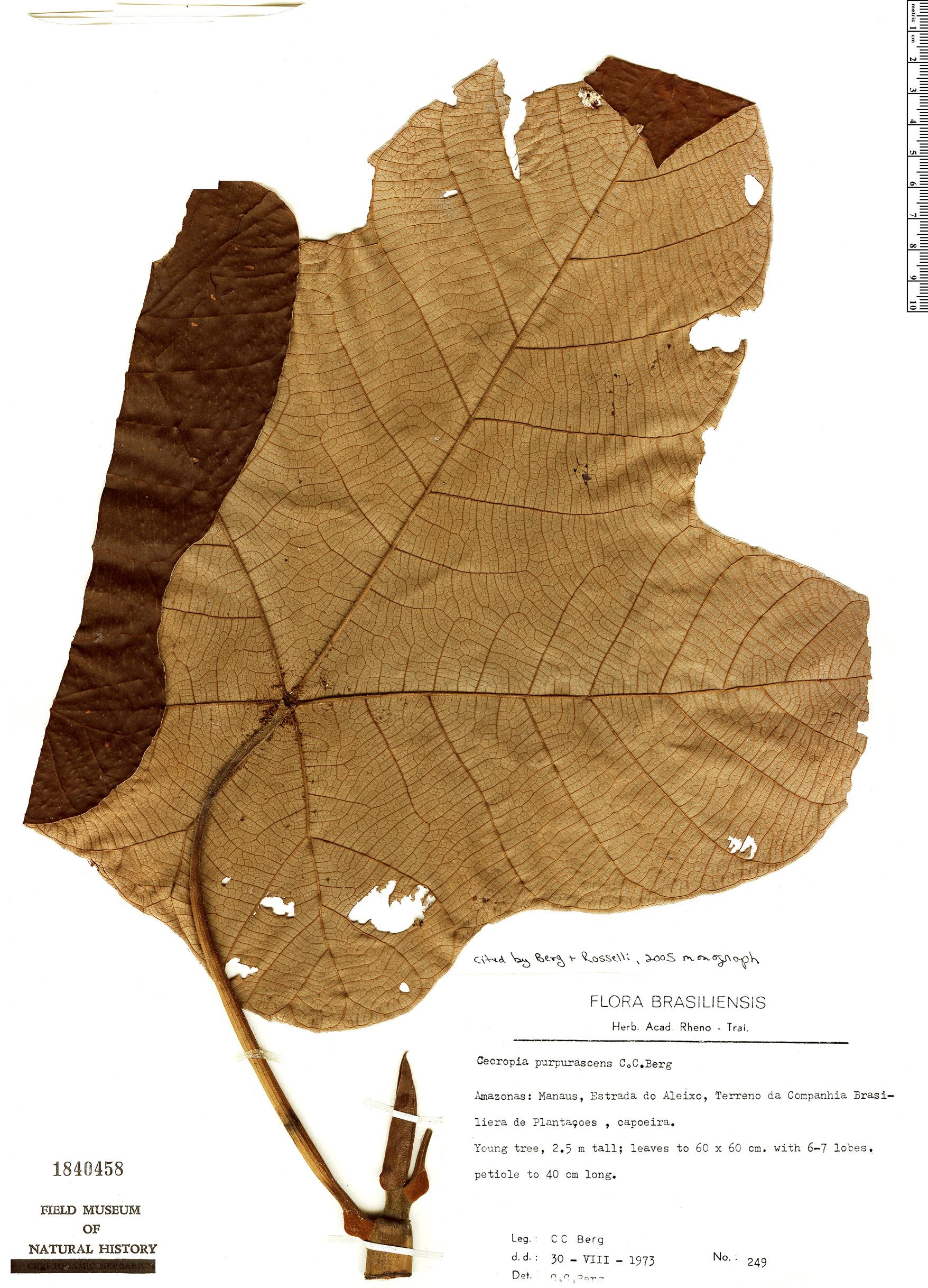 Specimen: Cecropia purpurascens
