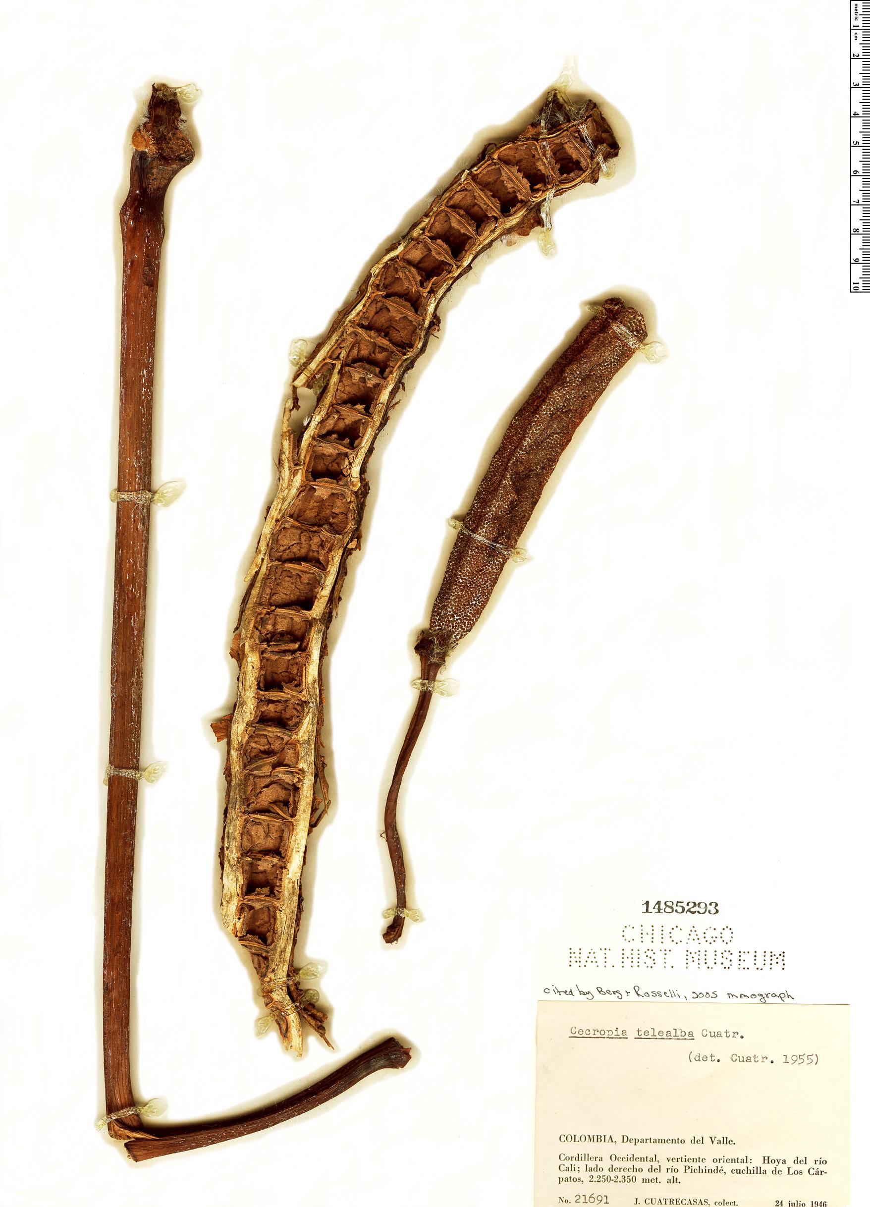 Specimen: Cecropia telealba
