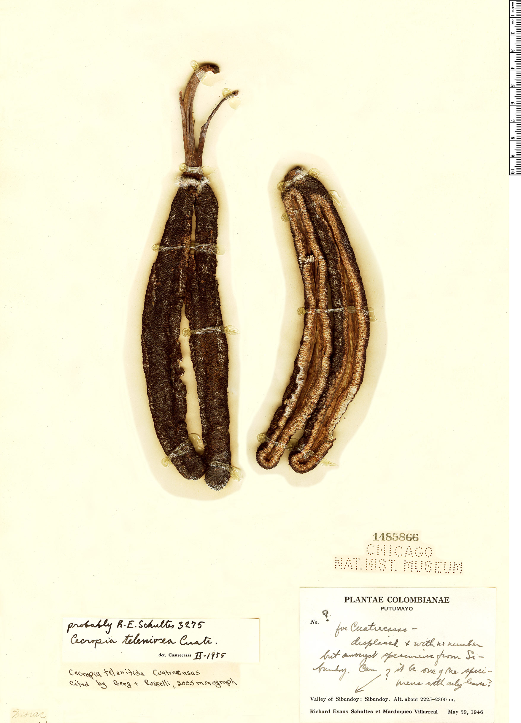 Specimen: Cecropia telenitida
