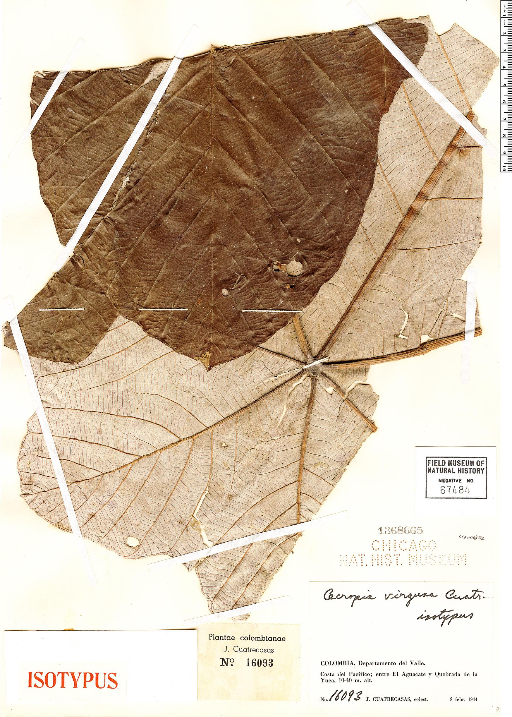 Specimen: Cecropia virgusa