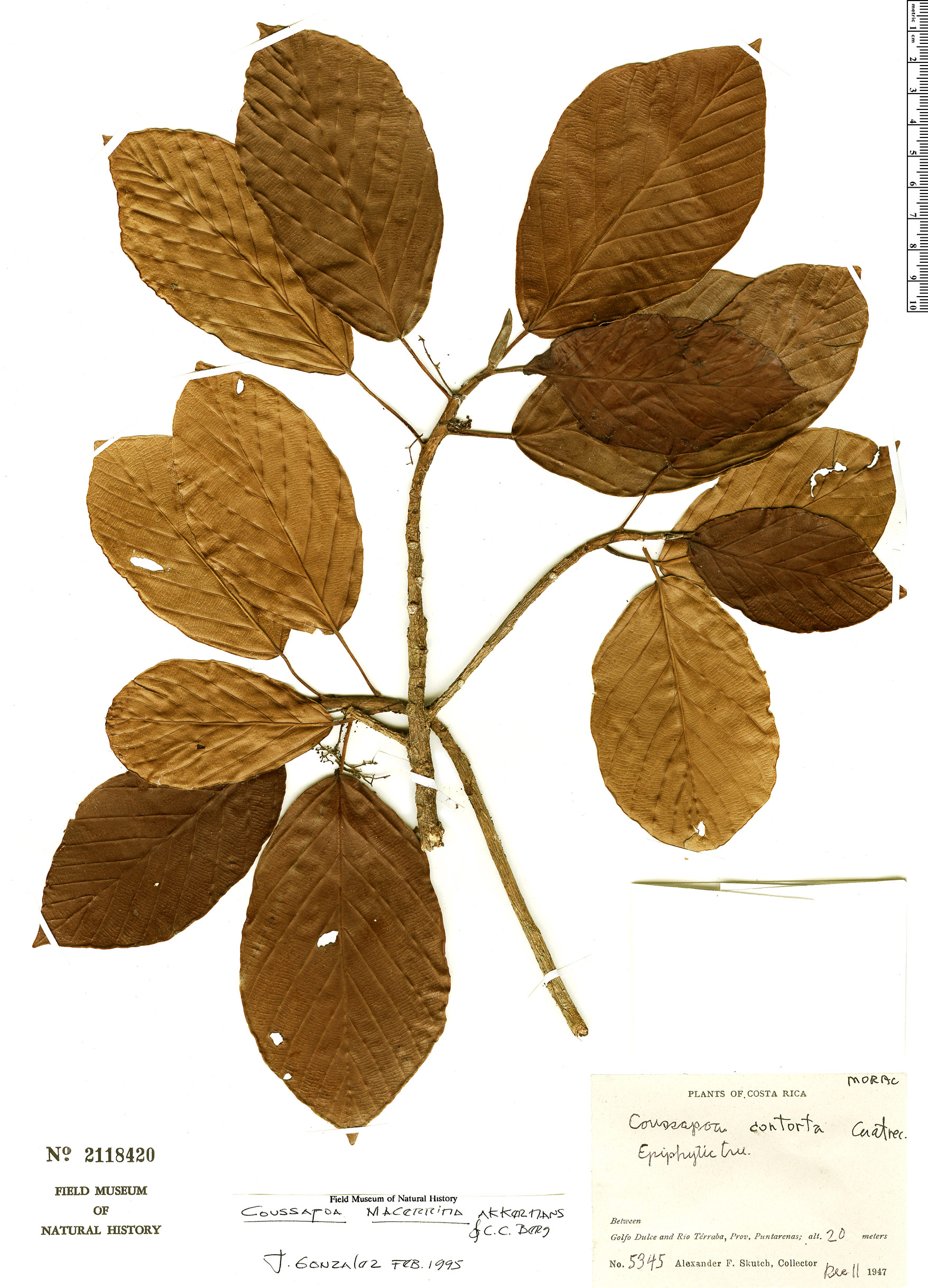 Specimen: Coussapoa macerrima