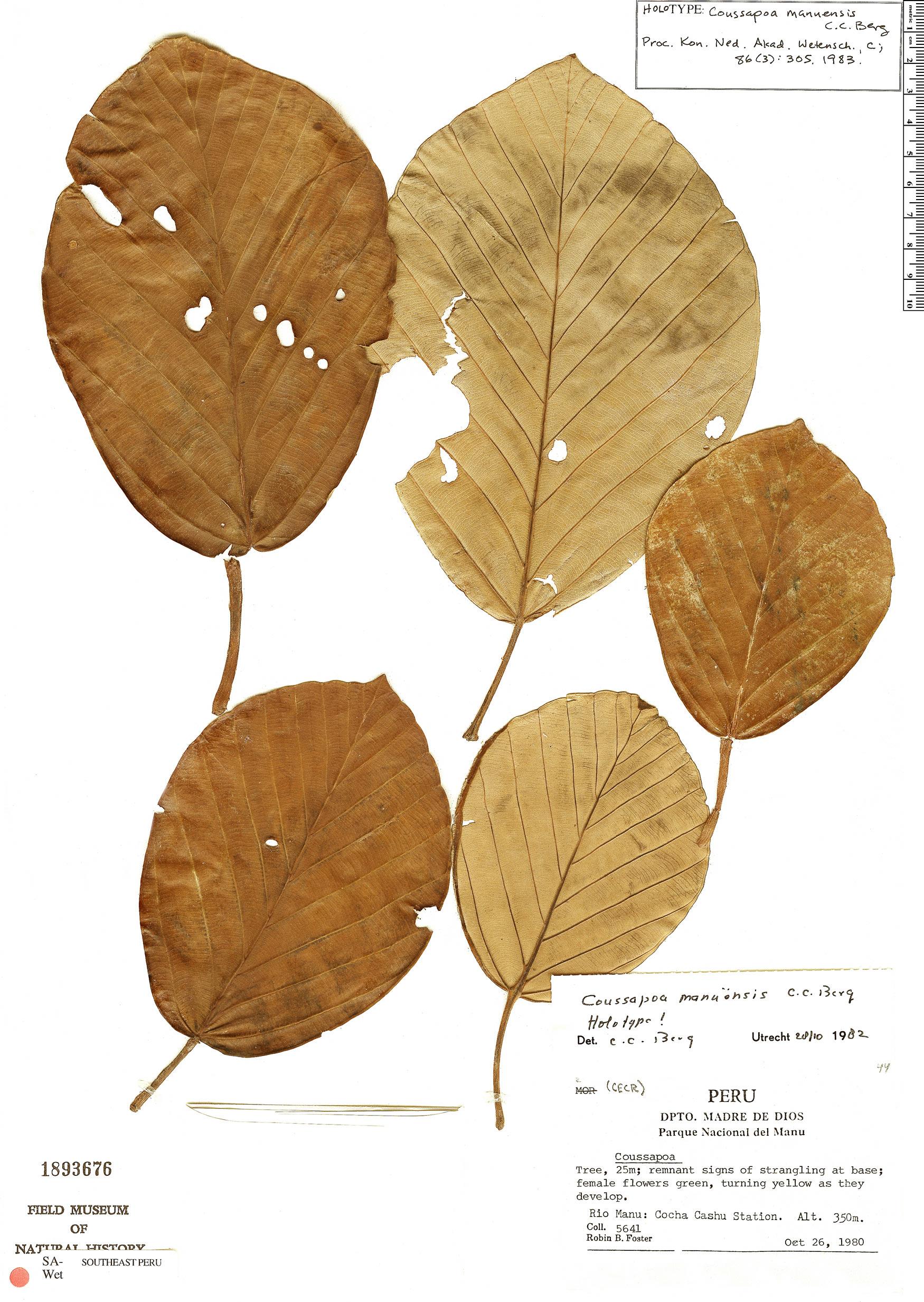 Specimen: Coussapoa manuensis