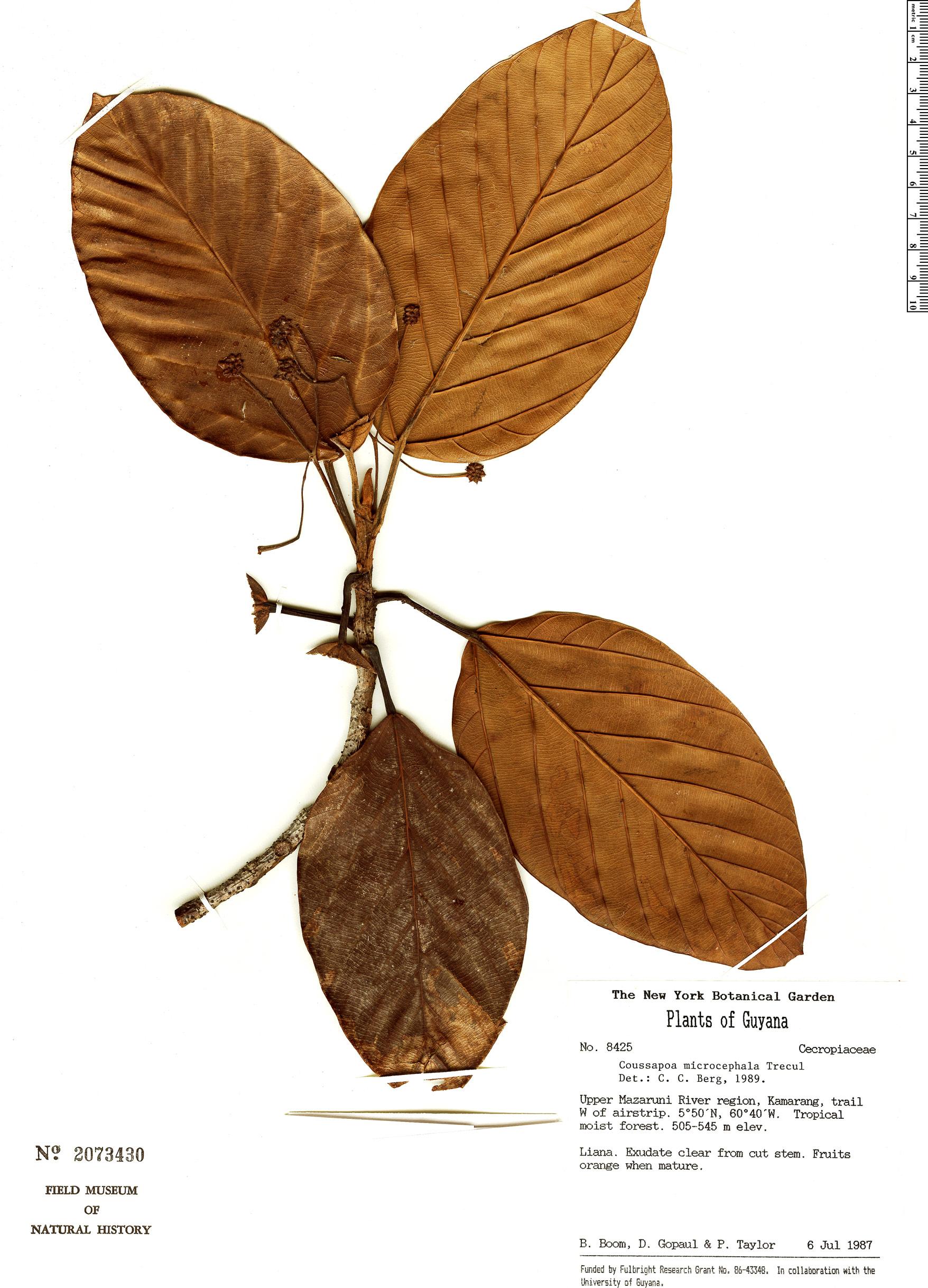 Specimen: Coussapoa microcephala