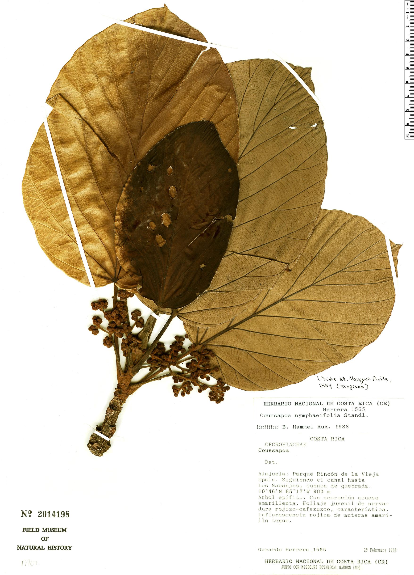 Specimen: Coussapoa nymphaeifolia